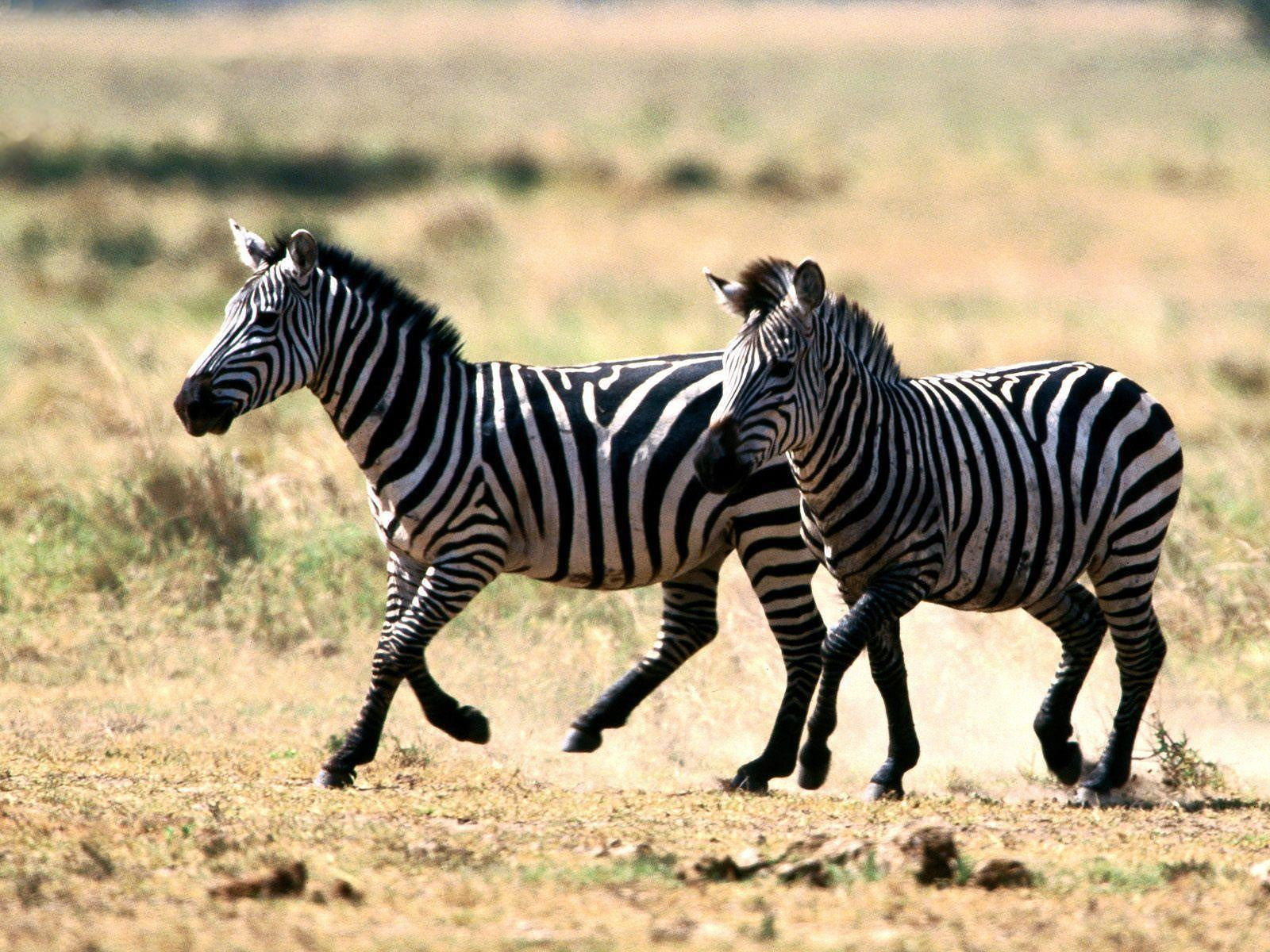 Wallpapers Zebra