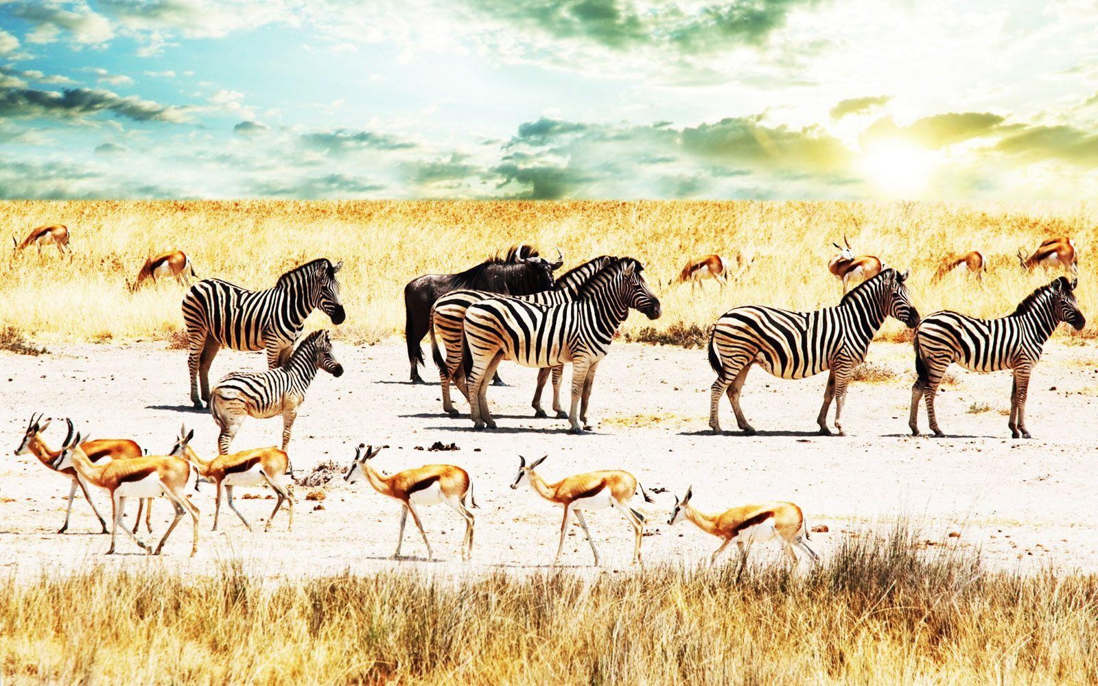 Central Wallpaper: Colors of Nature Zebras HD Wallpapers