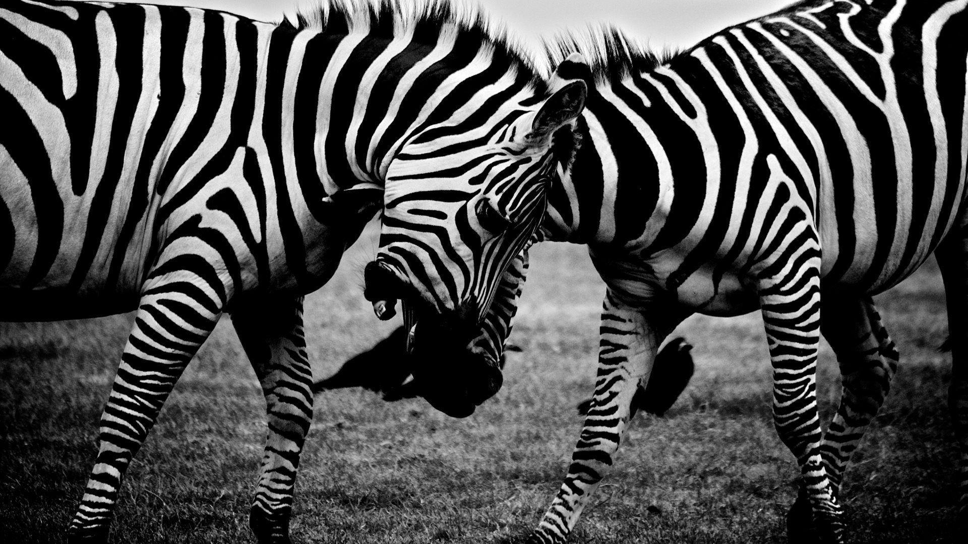 Fighting zebras HD desktop wallpapers : Widescreen : High