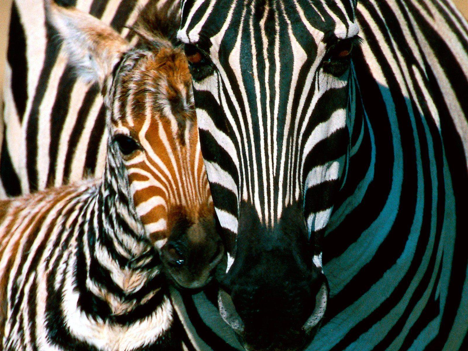 Download HD Desktop Wallpapers Zebras Wallpapers Hd Zebra Wallpapers