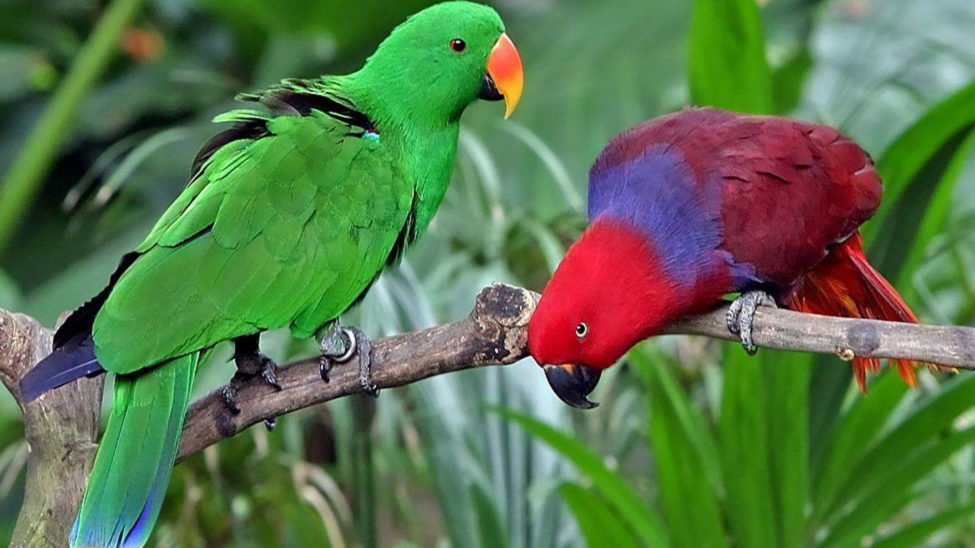 Eclectus Roratus Solomon Islands New Guinea : Wallpapers13