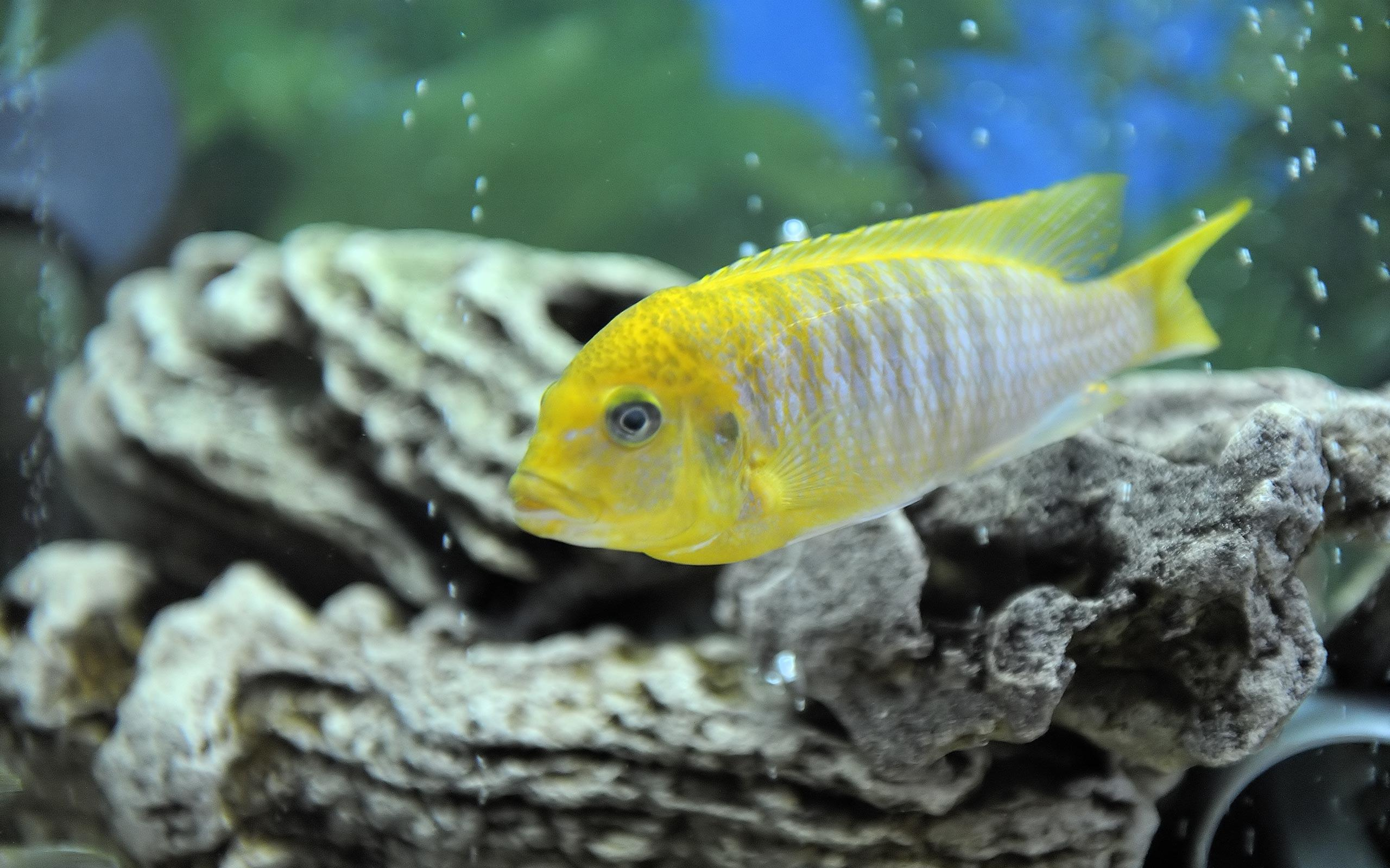 Malawi Aggressive Cichlid Hd Wallpaper (7723) at Wallpaper desktop ...