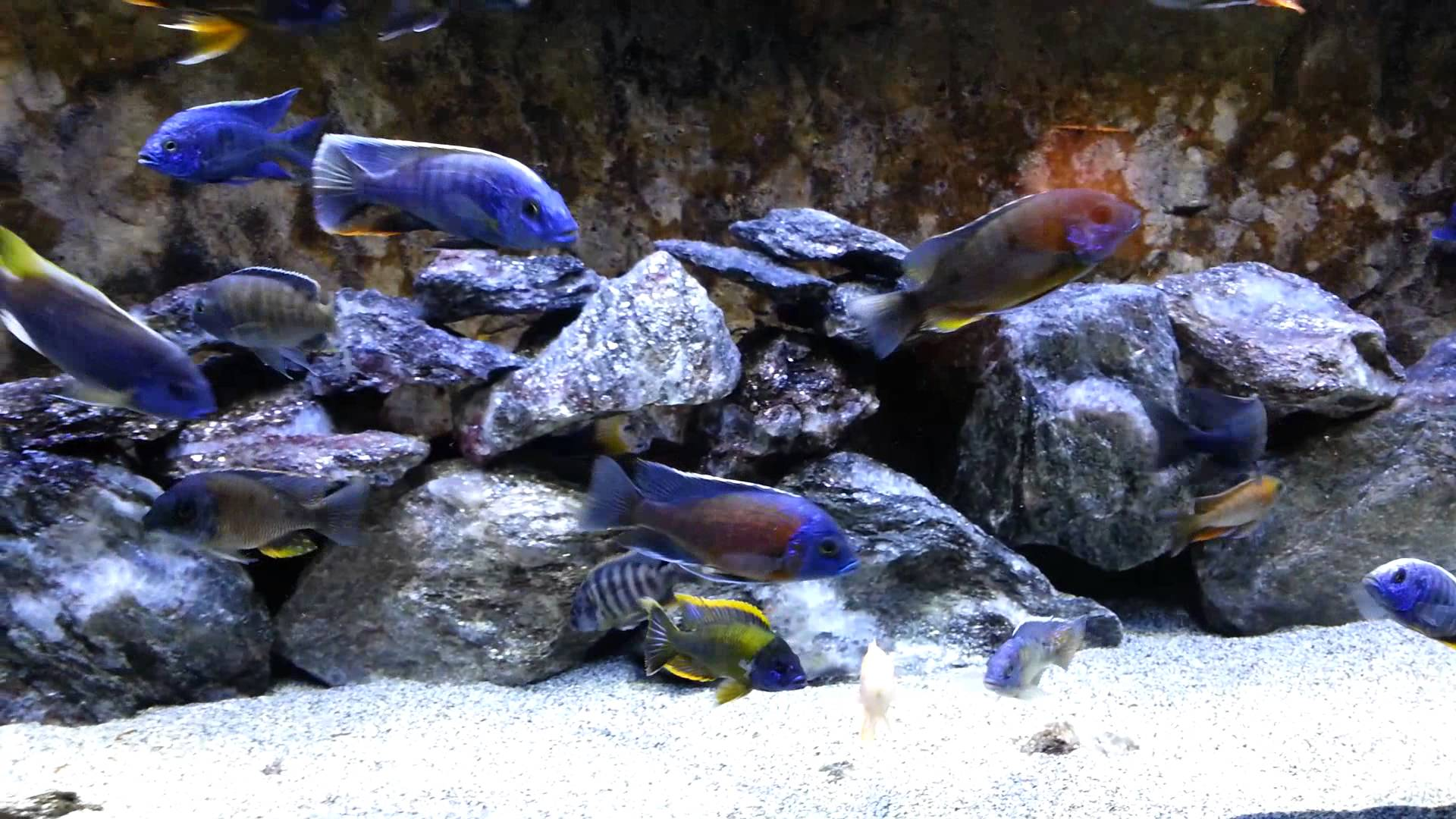 Back in the 120 show tank Lake Malawi cichlids - YouTube