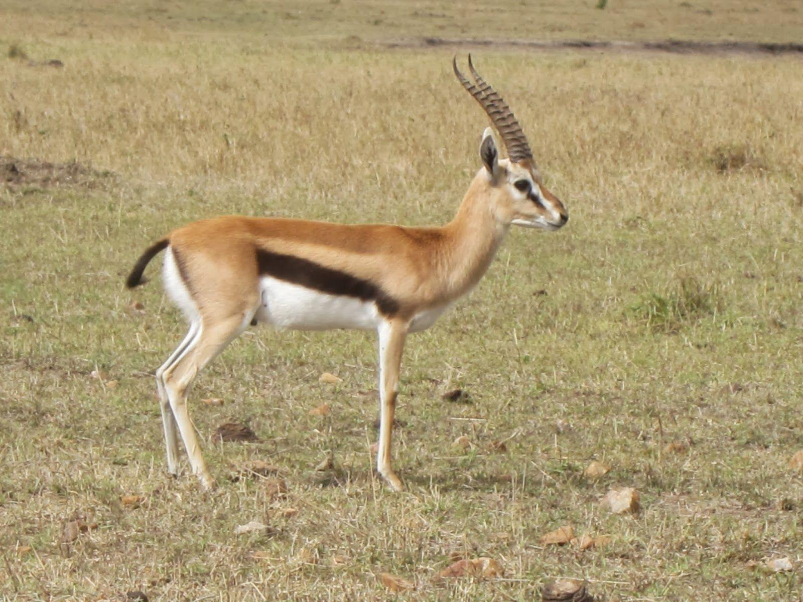 Thomsons Gazelle-Malawi National Animal | Wallpapers9