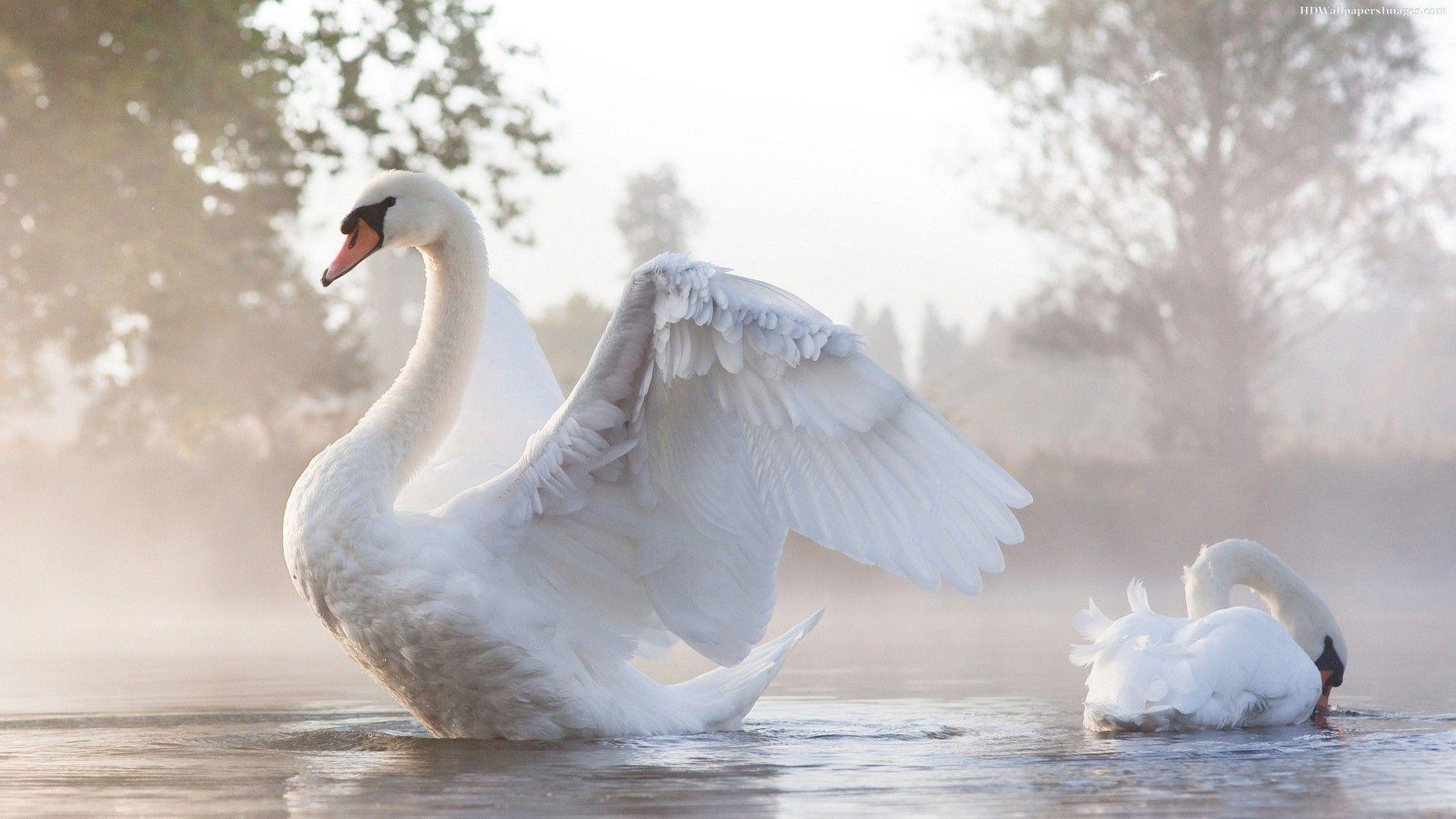 Swan in Lake Wallpaper Mobile Desktop