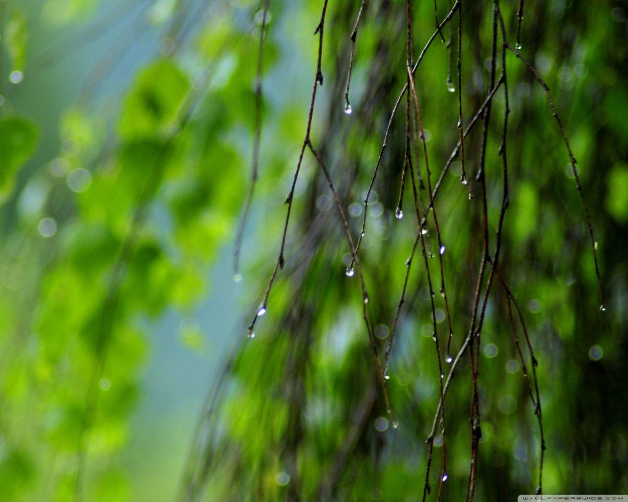 Wet Twigs, Summer HD desktop wallpaper : High Definition ...