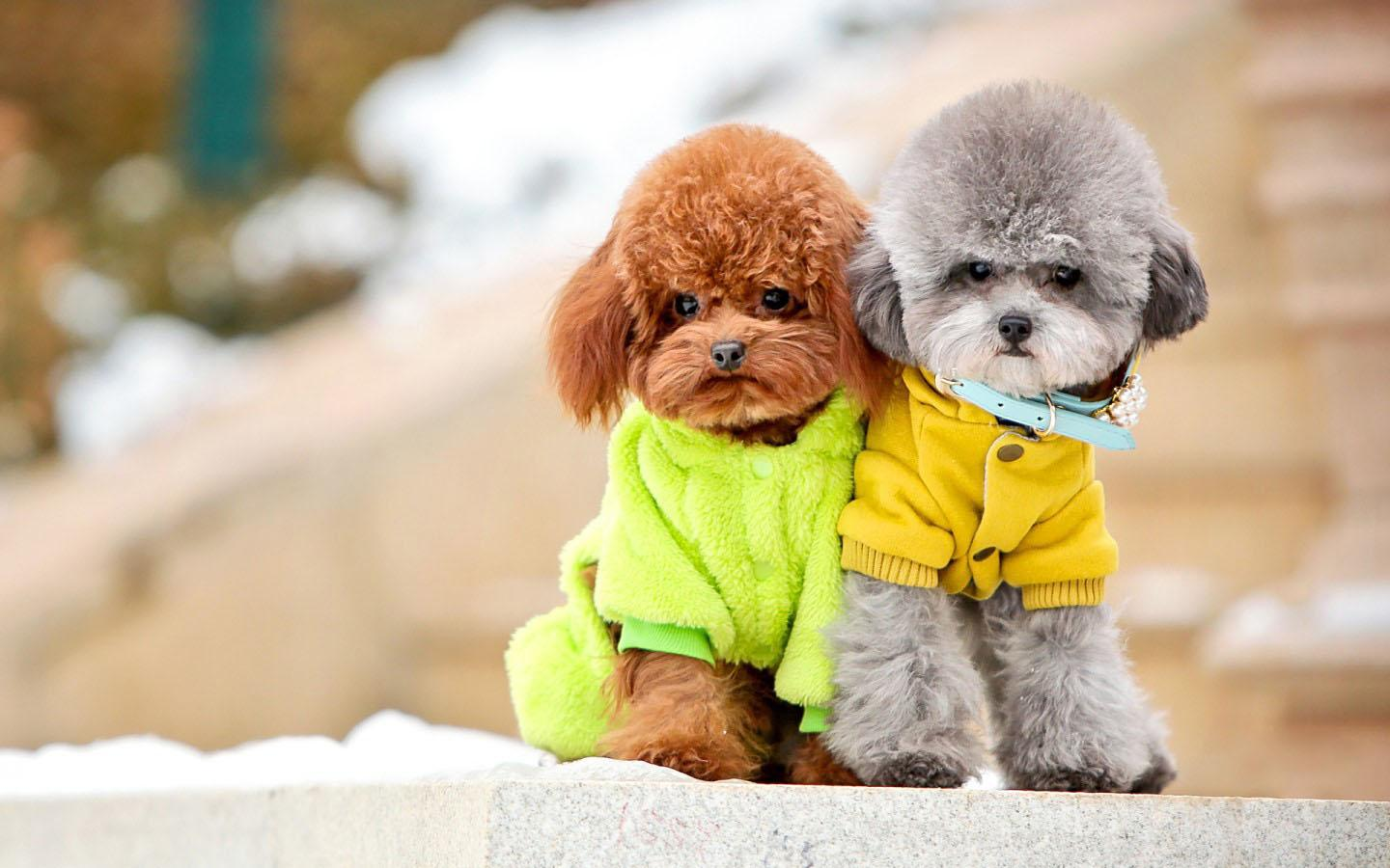 Poodles Wallpapers Wallpaper Cave