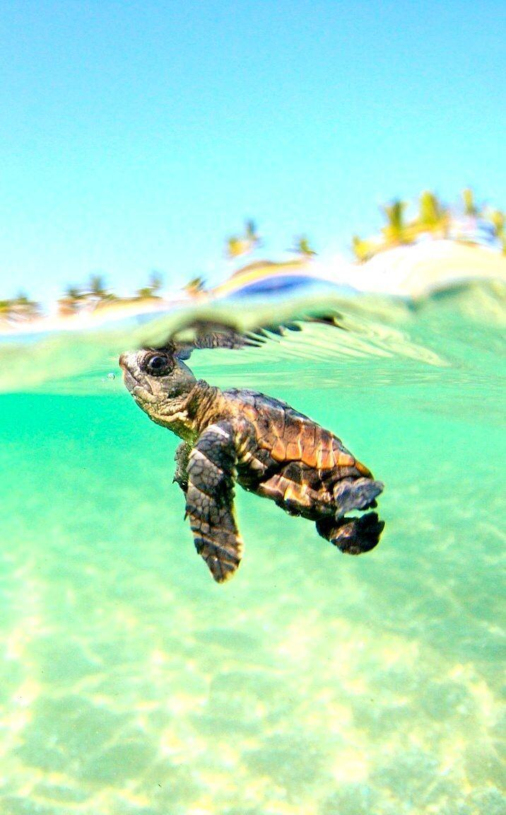 Baby Sea Turtle Wallpapers Wallpaper Cave