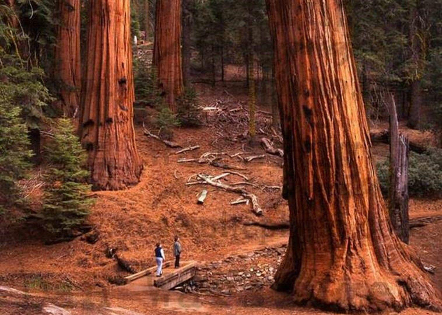 Redwoods Tag wallpapers: Trees Forest Redwoods Ferns Nature HD