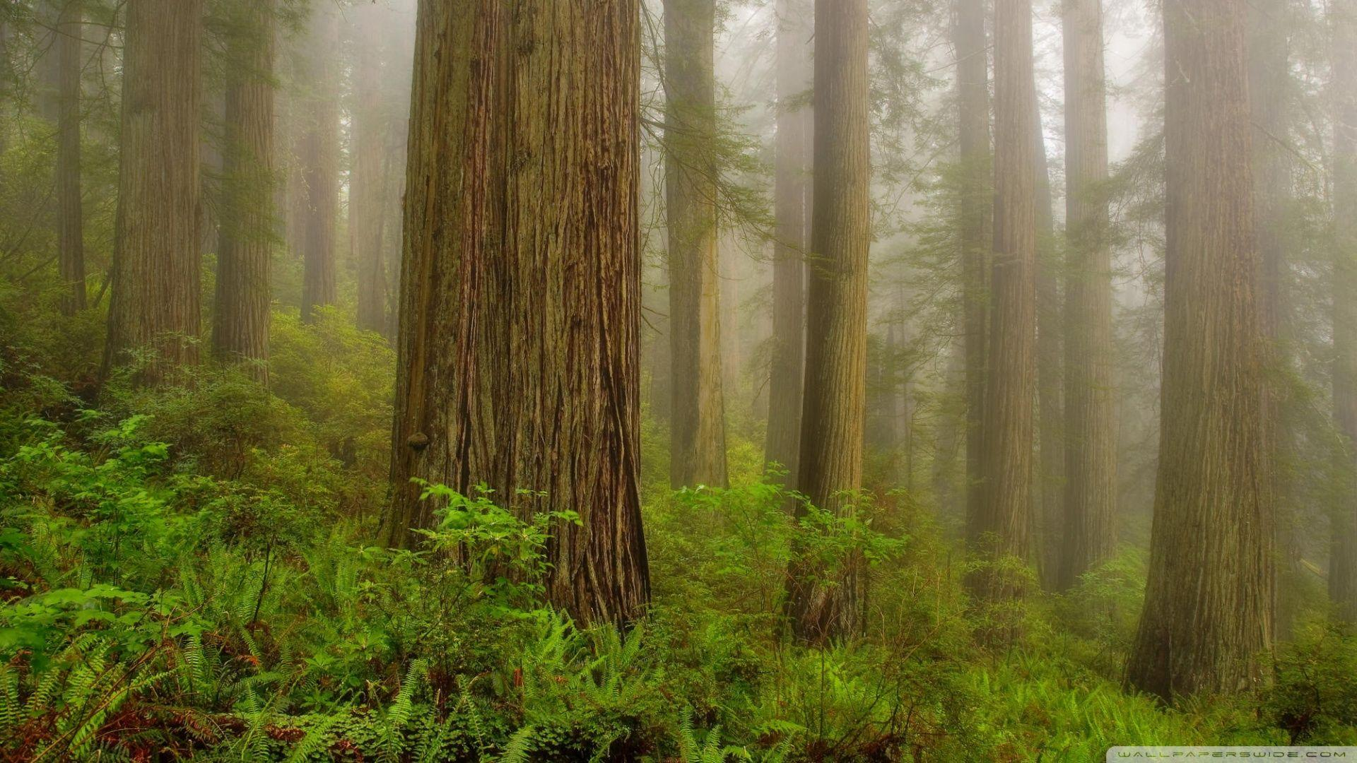 Redwoods Wallpapers