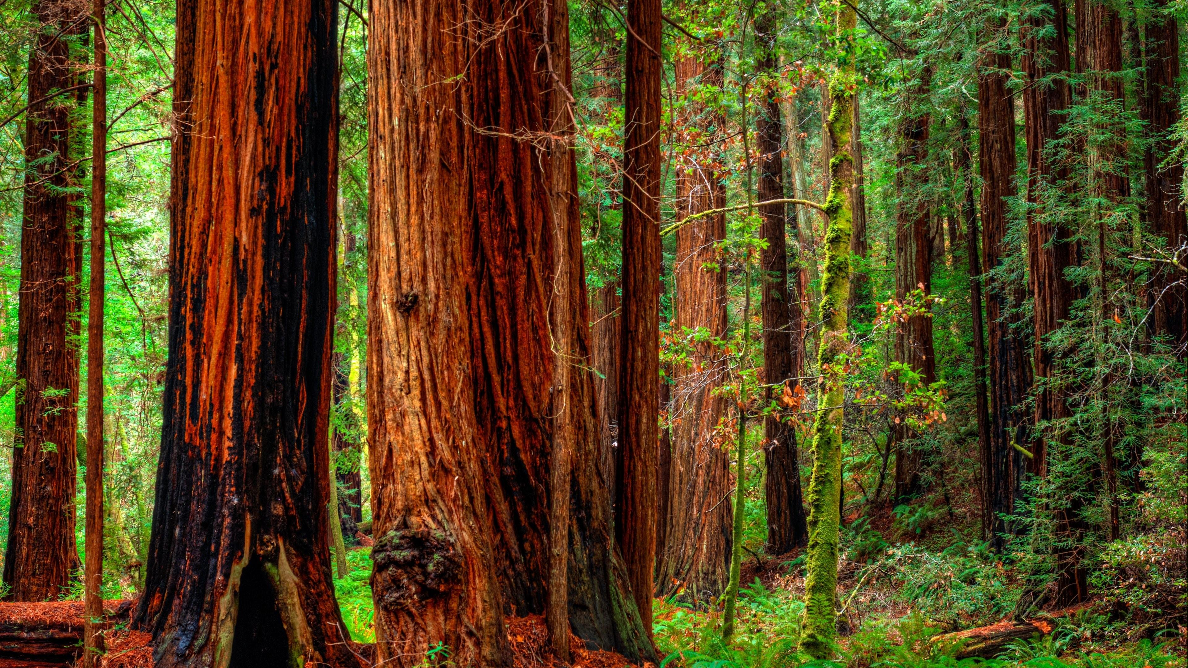 Forest Trees In Jedediah Smith Redwoods State Park