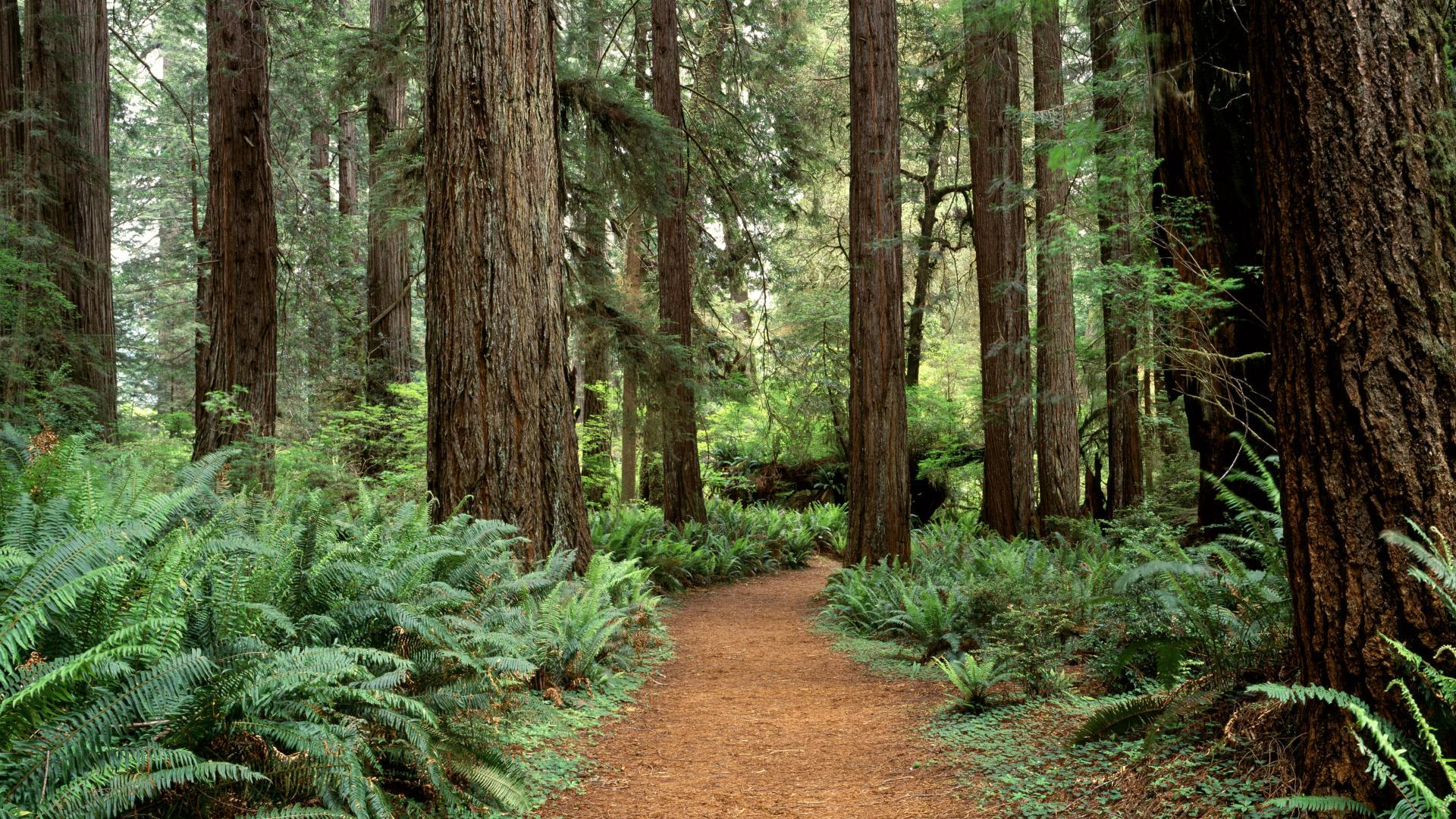 Prairie Creek Redwoods State Park, near Crescent City, Ca. Two