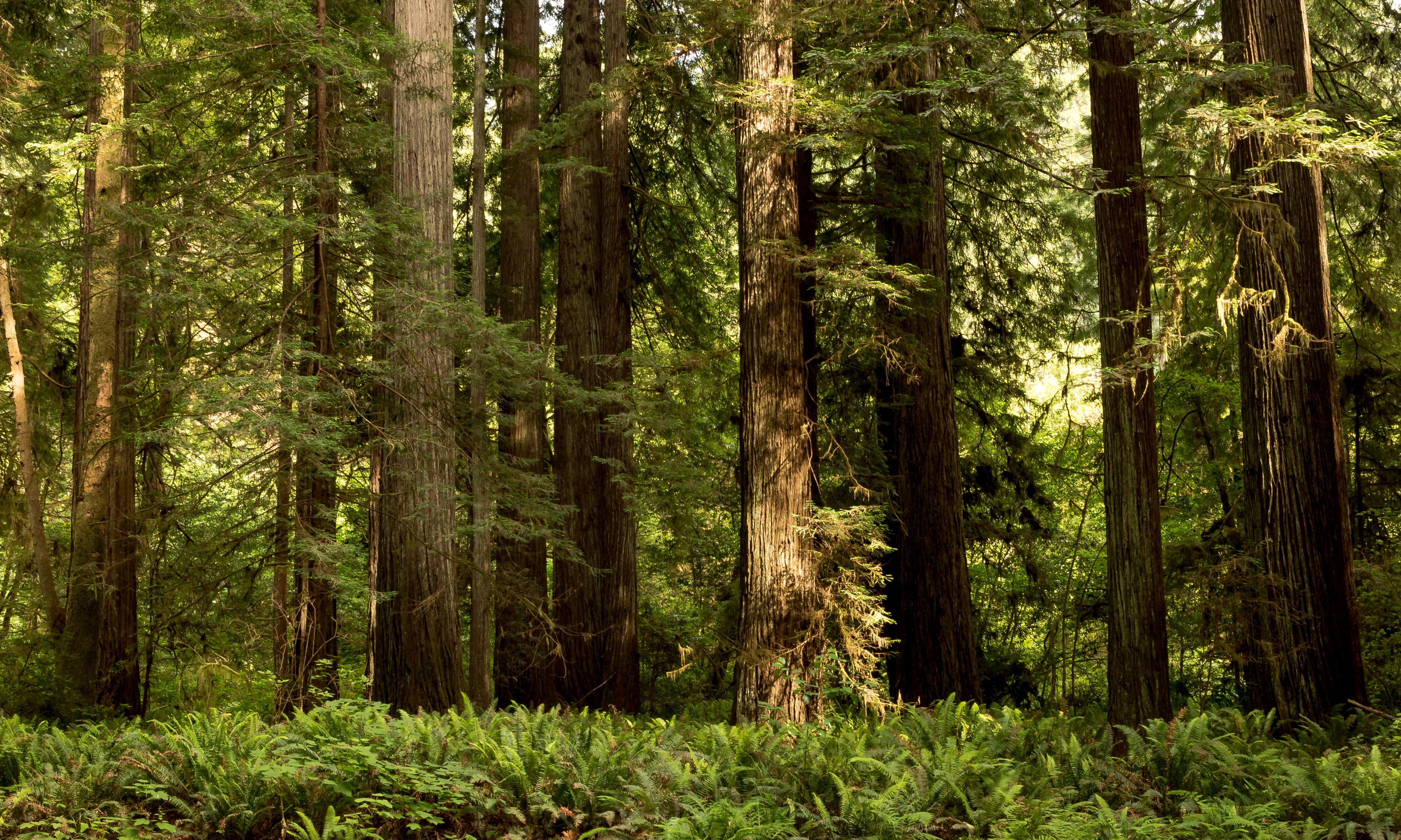Wallpapers California USA Redwood National State Parks Nature