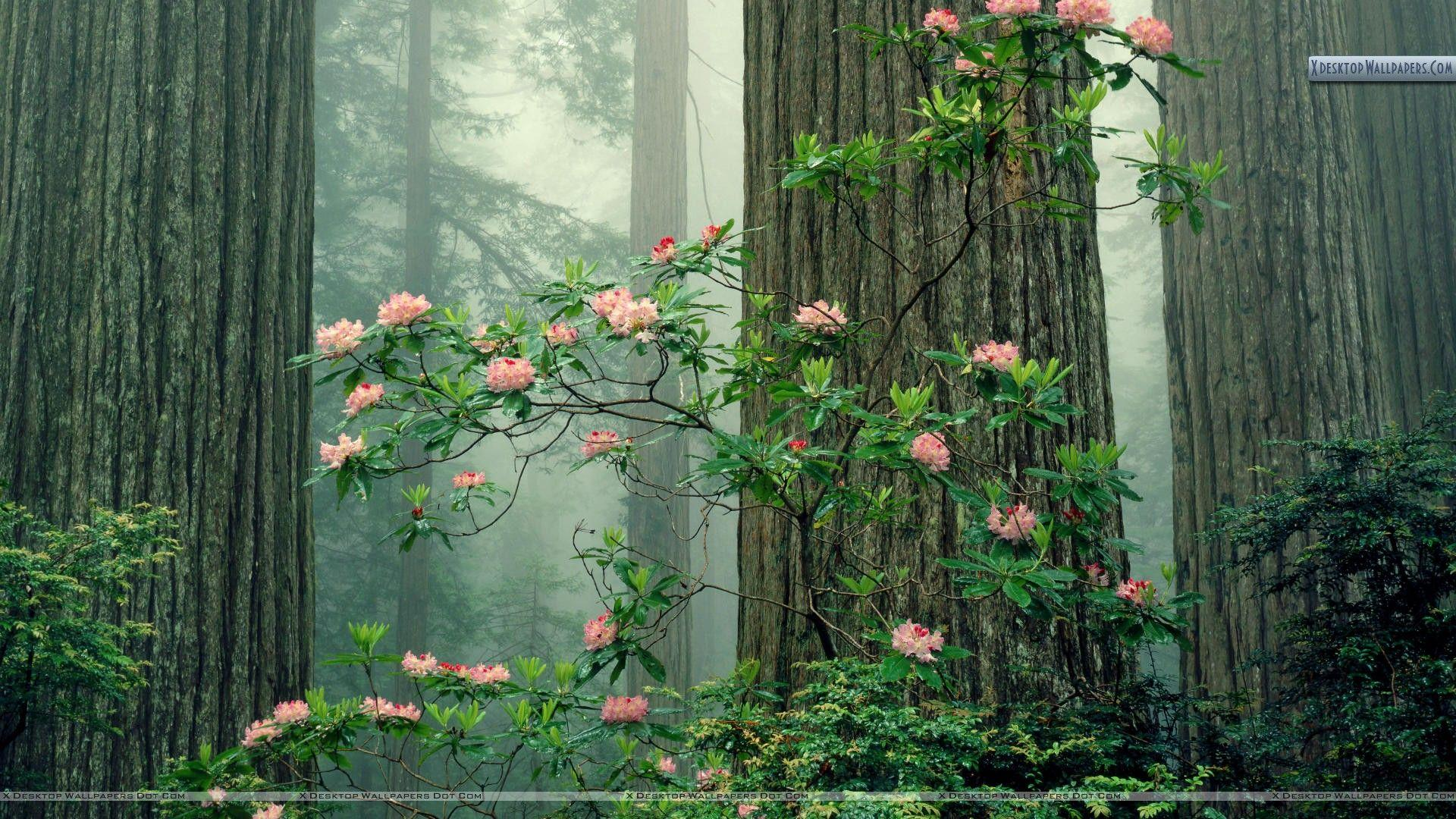 Rhododendrons in Bloom, Redwood National Park, California Wallpapers