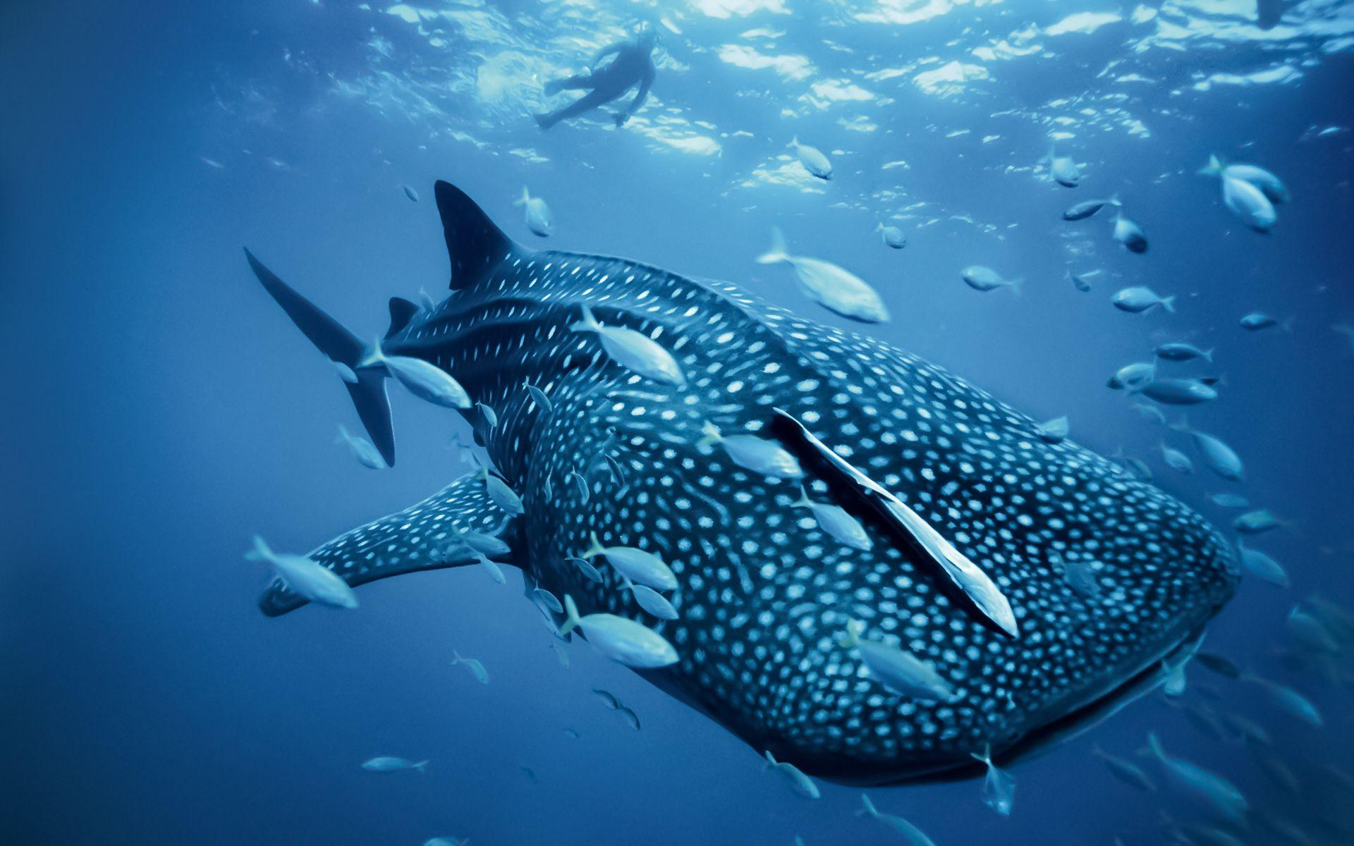 Whale shark Wallpapers | Pictures | swordfish | Pinterest | Whale ...