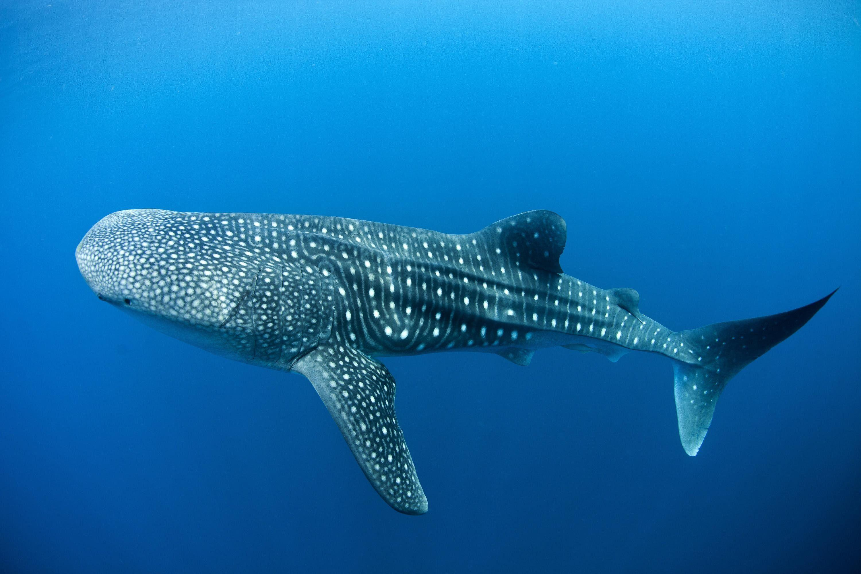 Whale Shark Wallpapers - LyhyXX.com