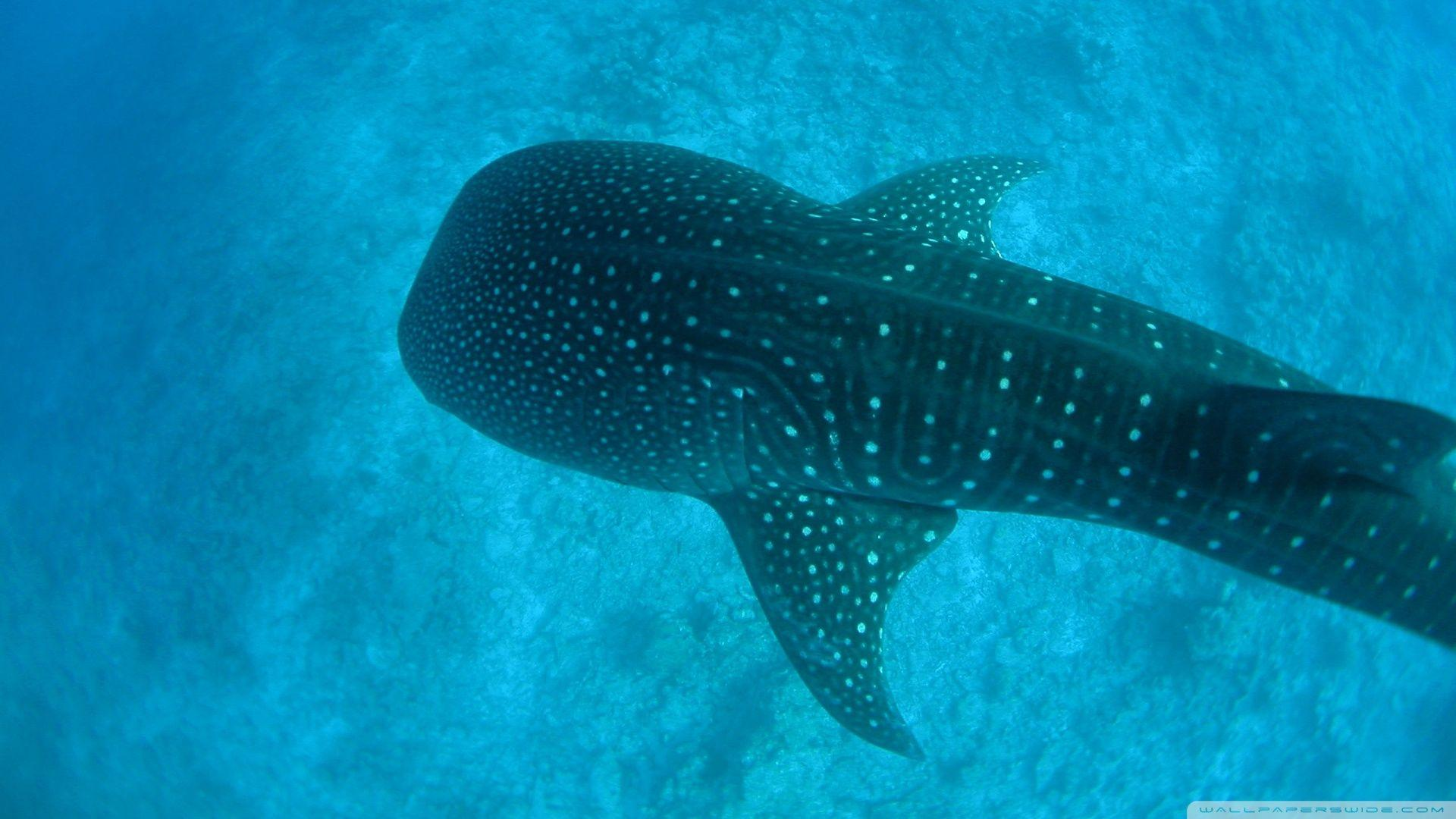 Whale Shark HD desktop wallpaper : High Definition : Fullscreen ...