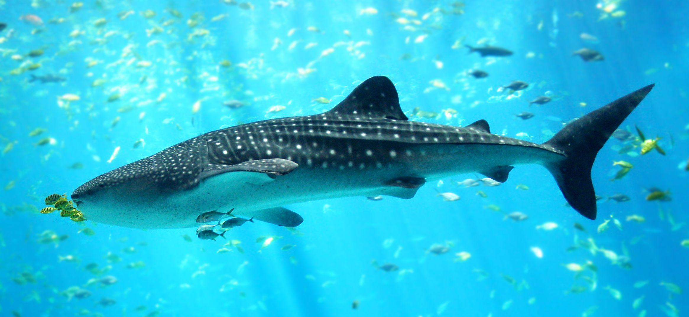 Whale Shark Wallpapers High Quality | Download Free