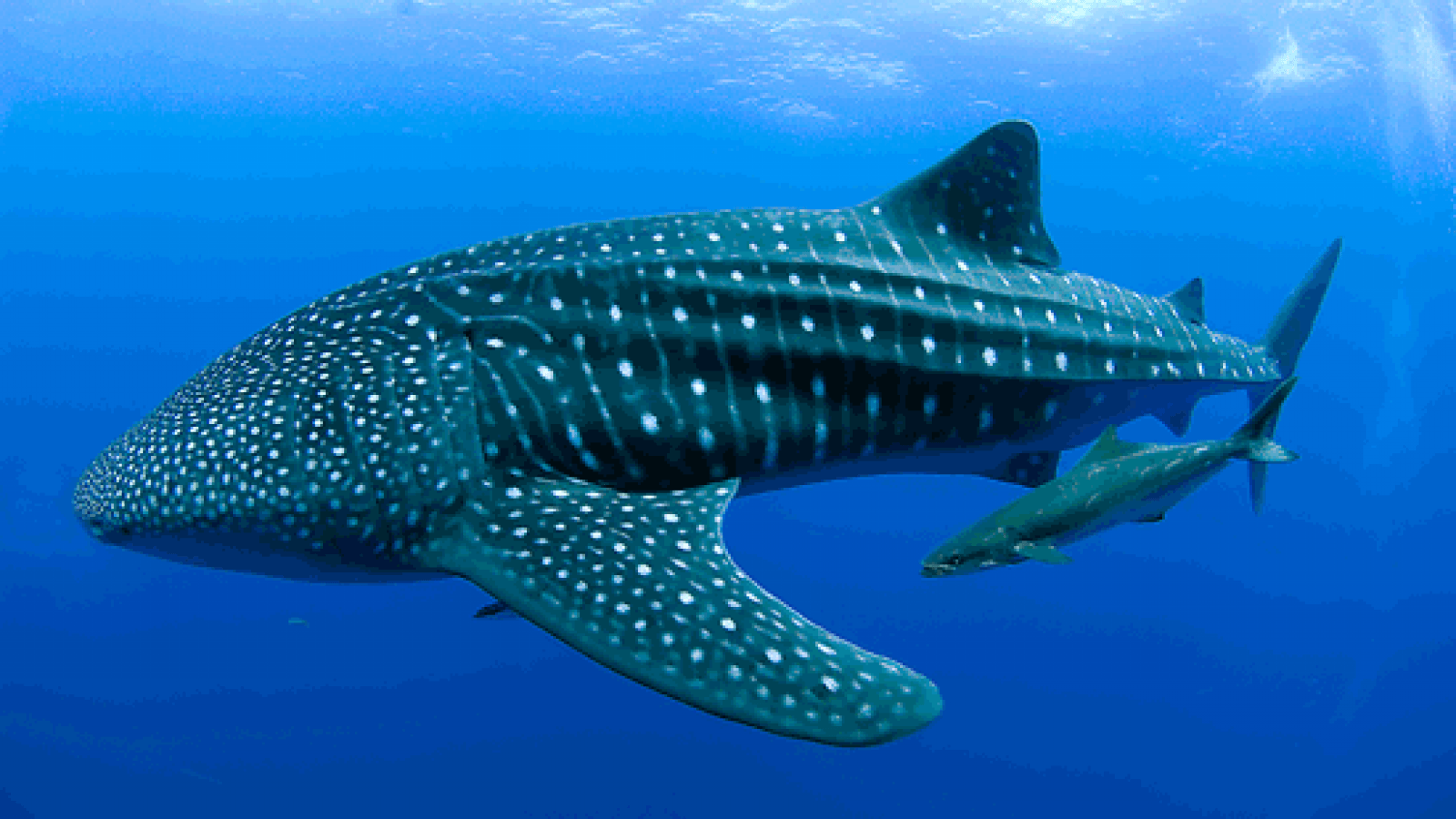 Whale shark - wallpaper.