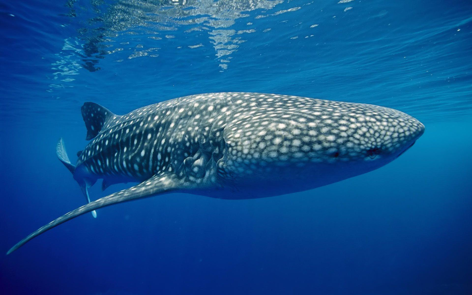 Image - Whale shark underwater wallpapers.jpg | Marine Wiki ...