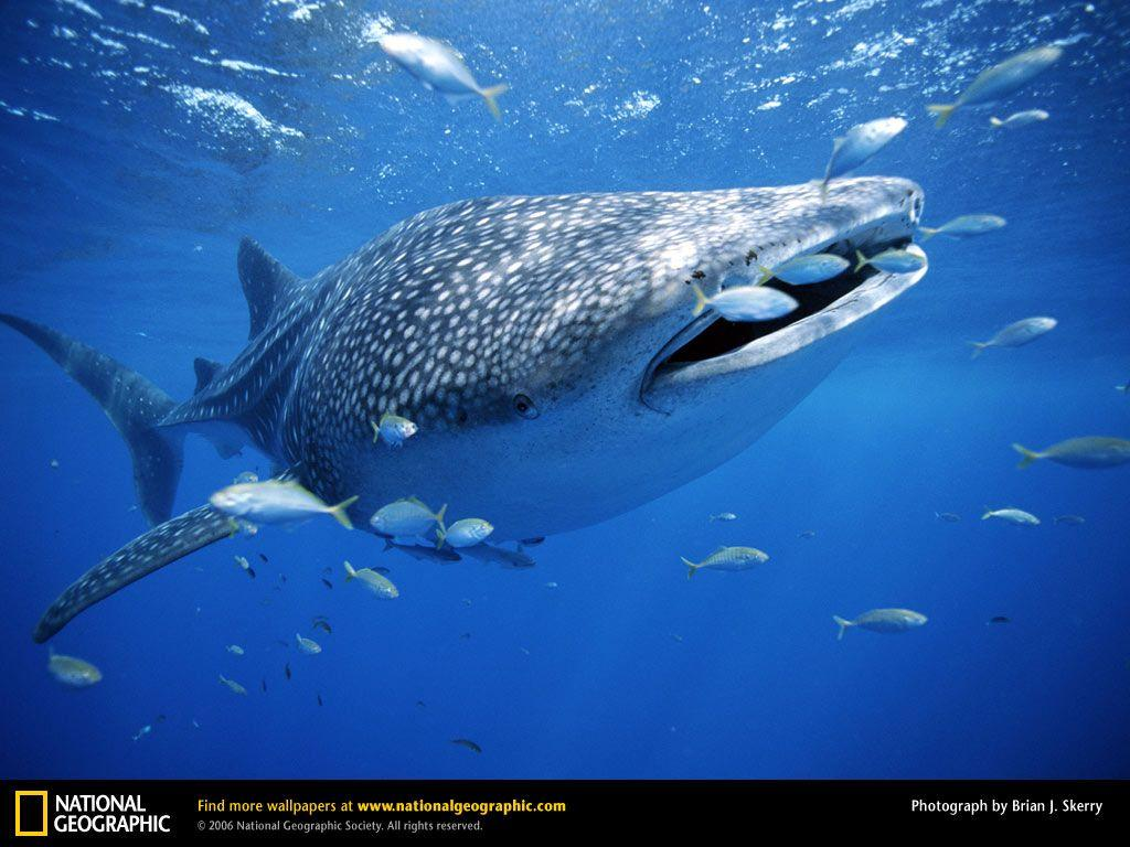 Whale Shark Picture, Whale Shark Desktop Wallpaper, Free ...