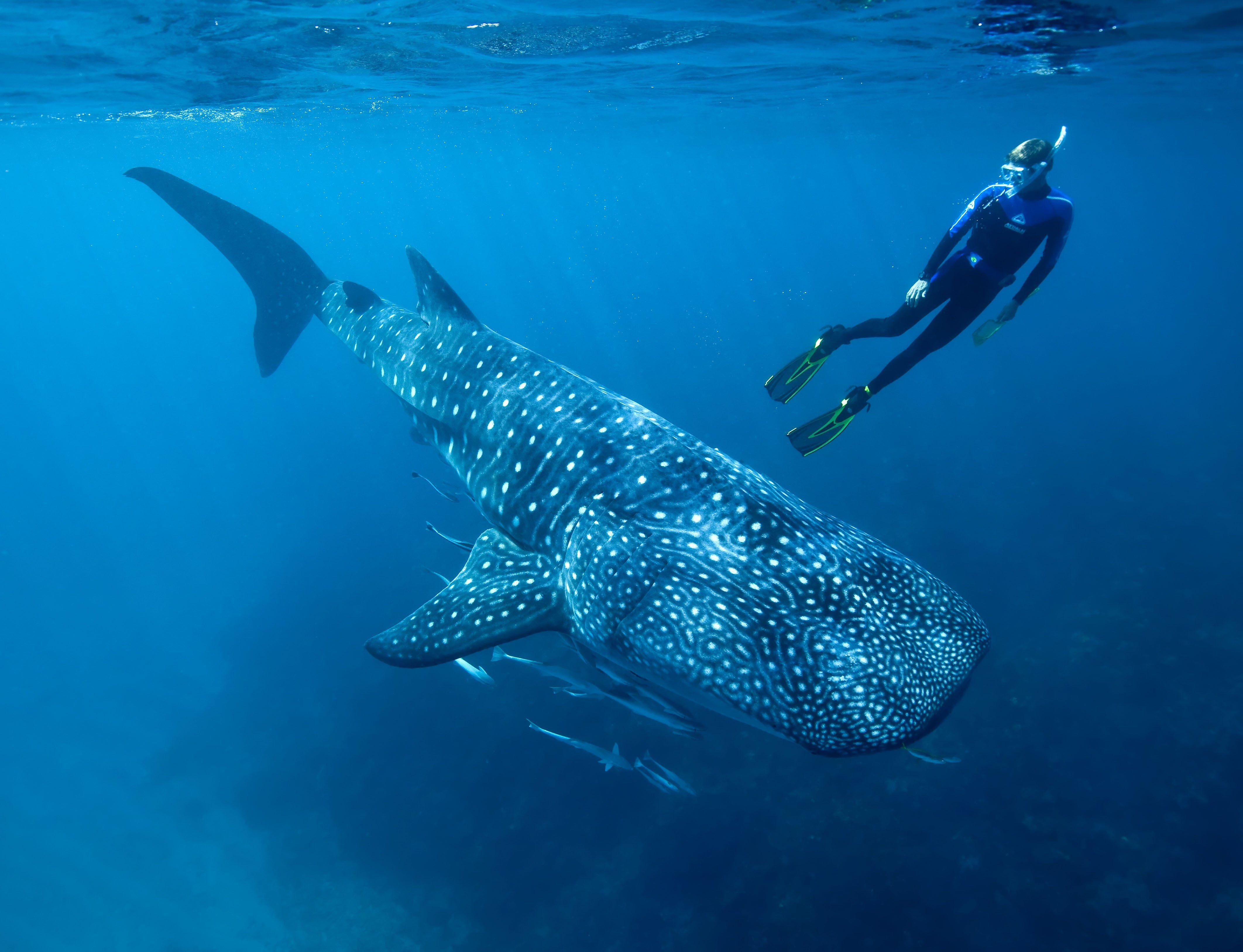 Whale shark underwater ocean sea wallpaper | 4248x3253 | 418148 ...