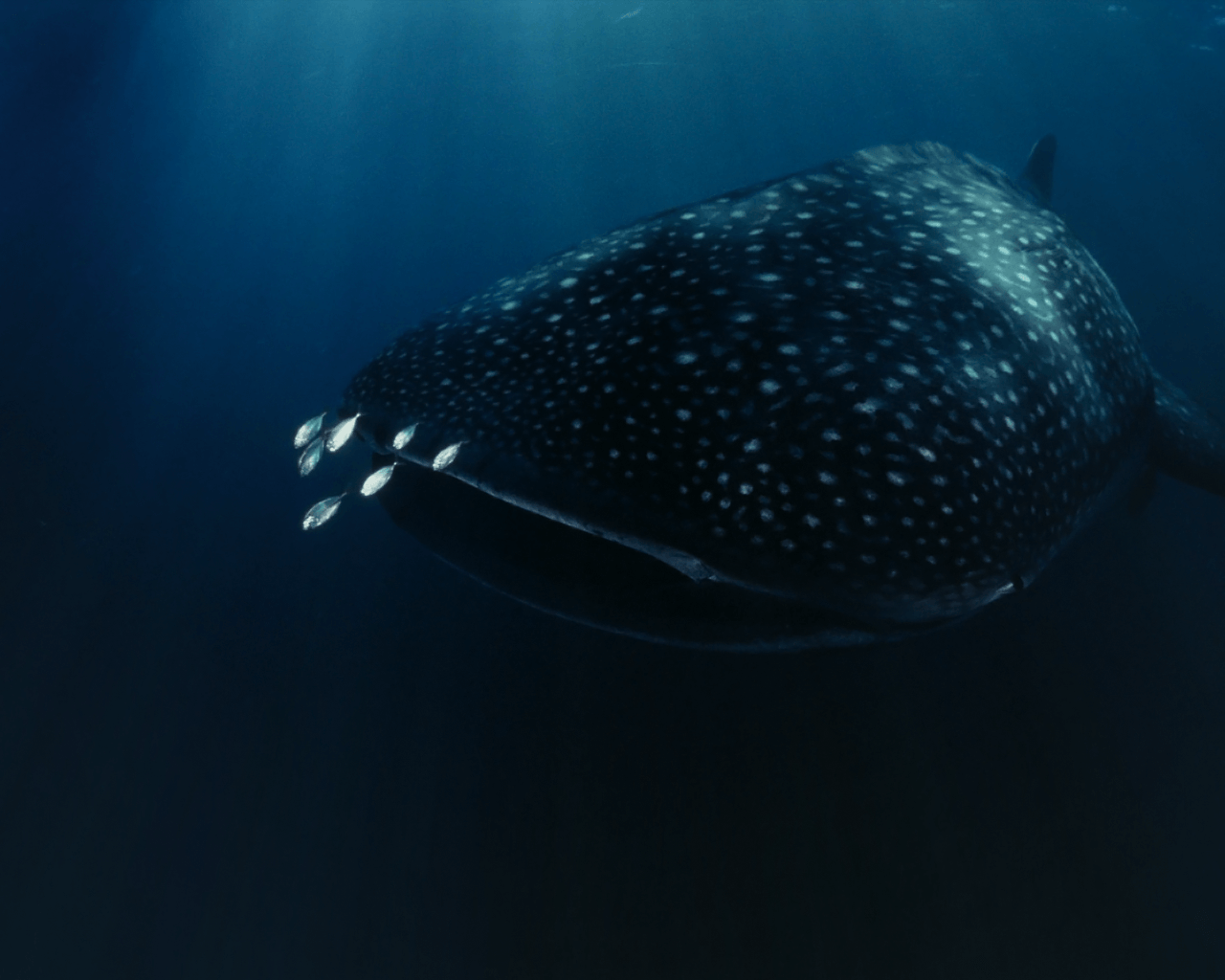 Whale Shark Wallpaper and Background | 1280x1024 | ID:322067