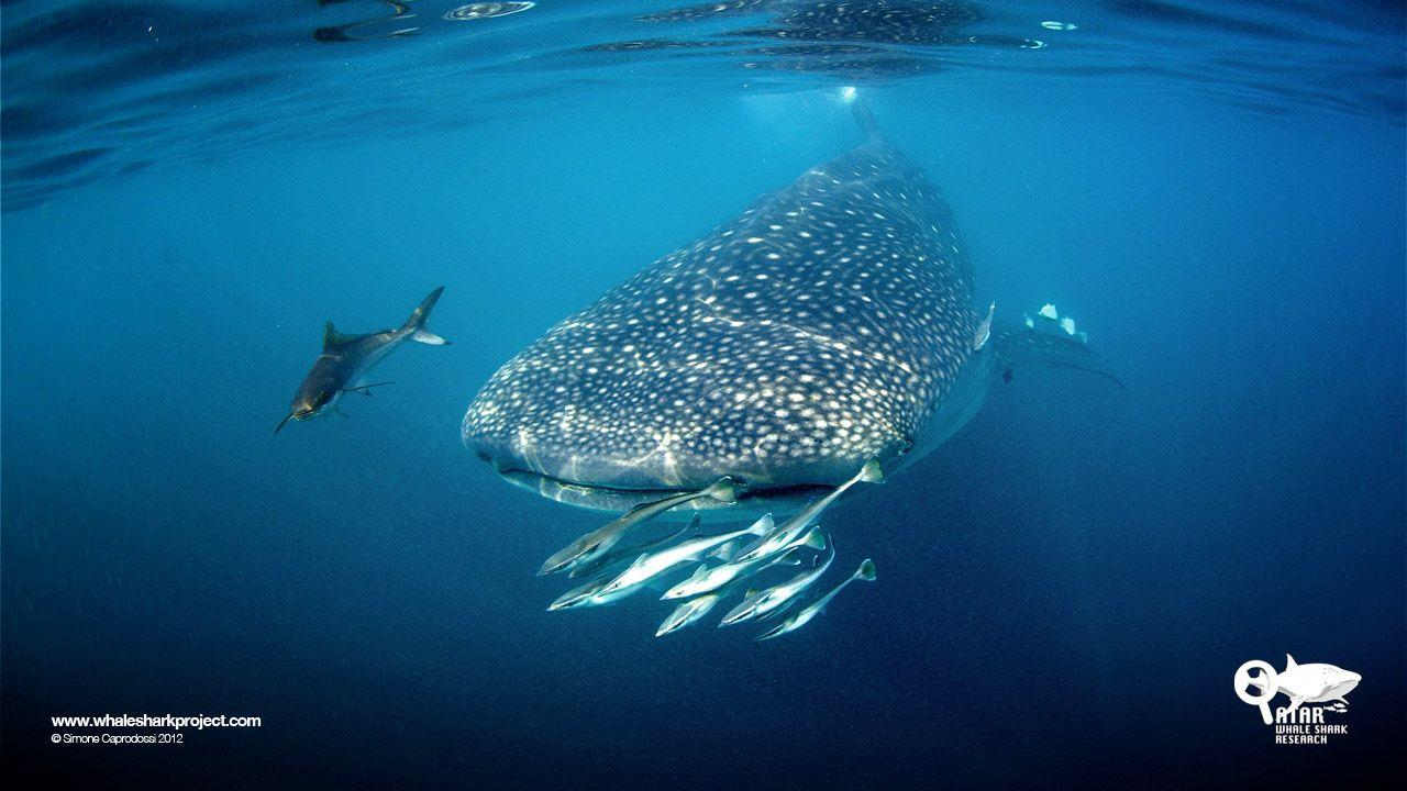 Swimming With Whale Sharks - wallpaper.