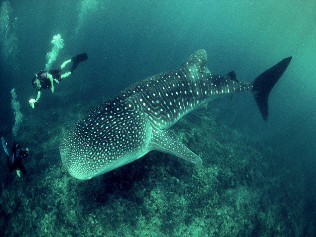 Whale Shark Wallpaper HD | All Five Oceans