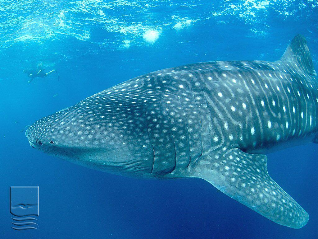 Wallpaper: Whale Shark 1 (1024x768)