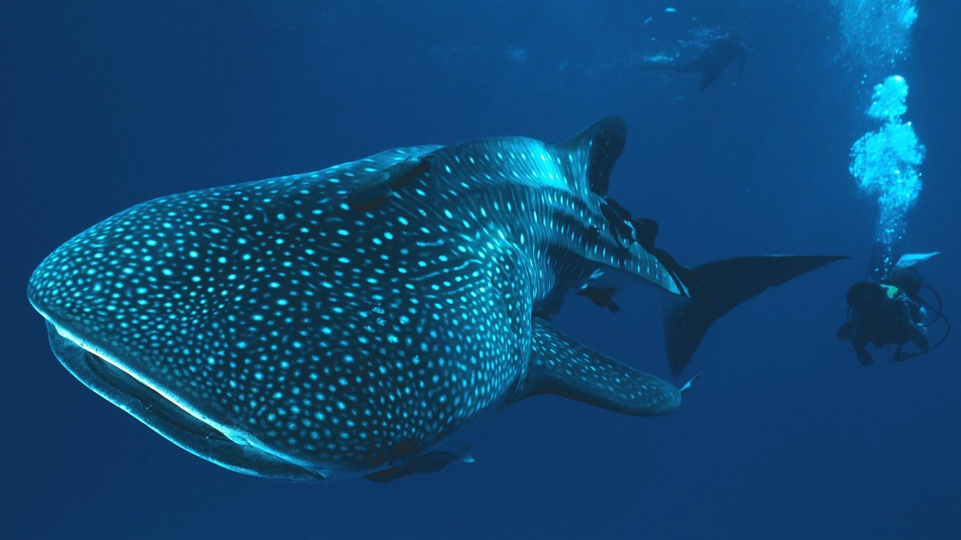 whale shark underwater shark divers Wallpapers HD / Desktop and ...