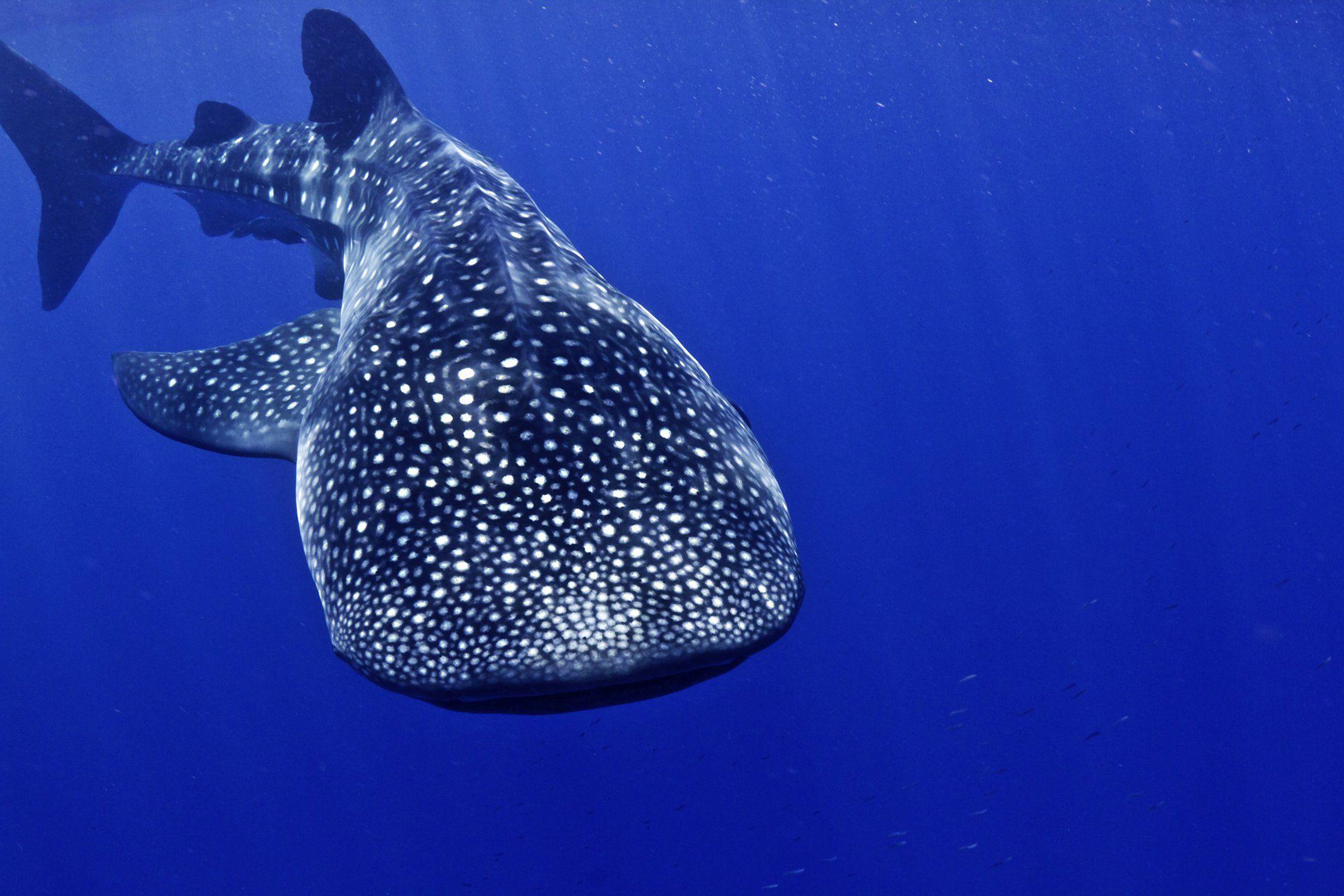 Whale shark underwater ocean sea wallpaper | 2126x1418 | 418115 ...