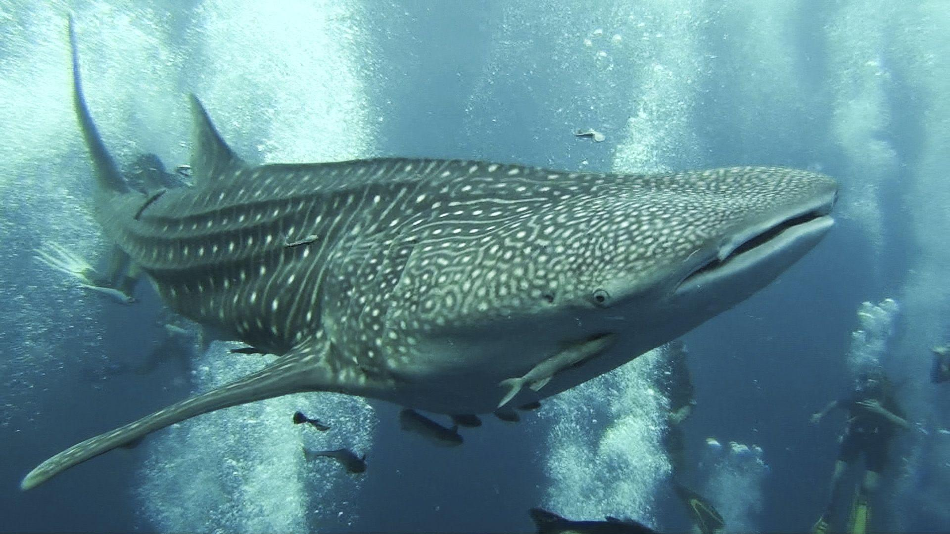 hd wallpaper whaleshark - Background Wallpapers for your Desktop ...