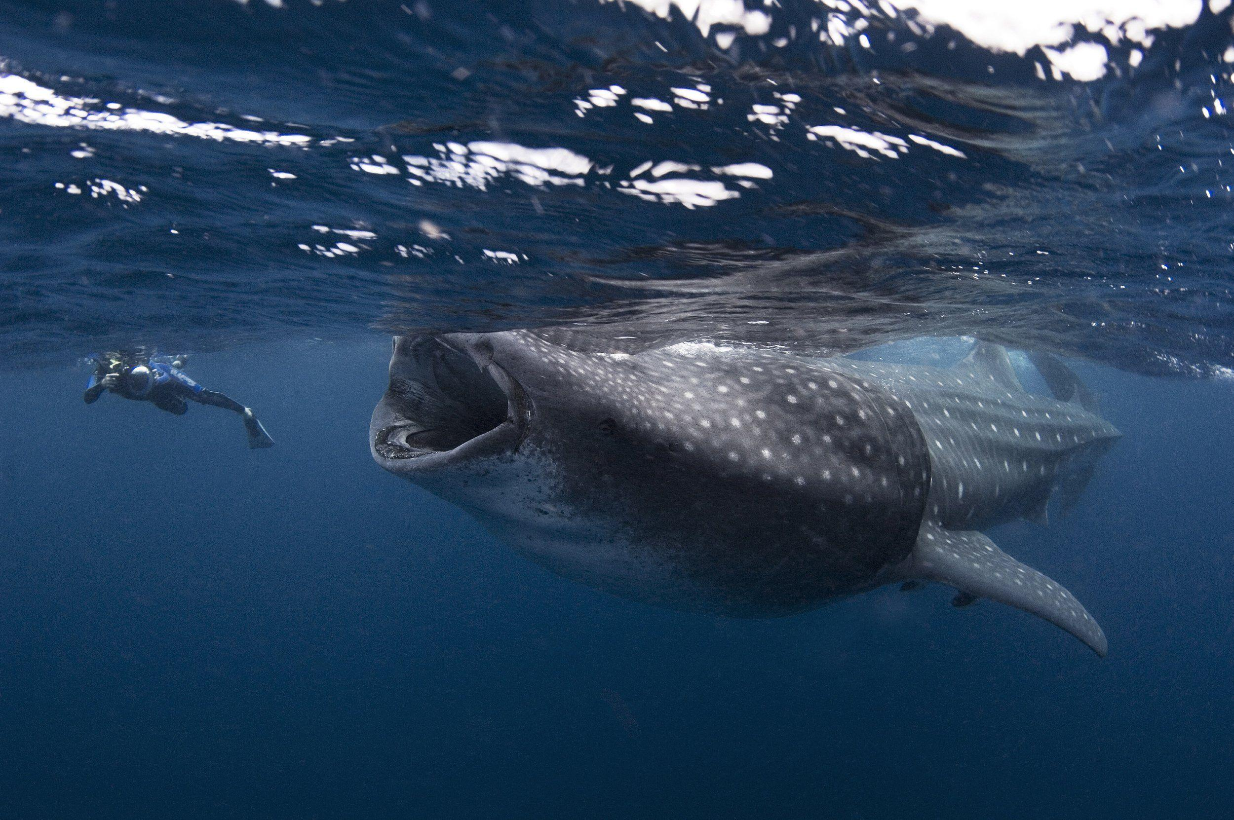 Whale shark underwater ocean sea wallpaper | 2500x1662 | 418126 ...