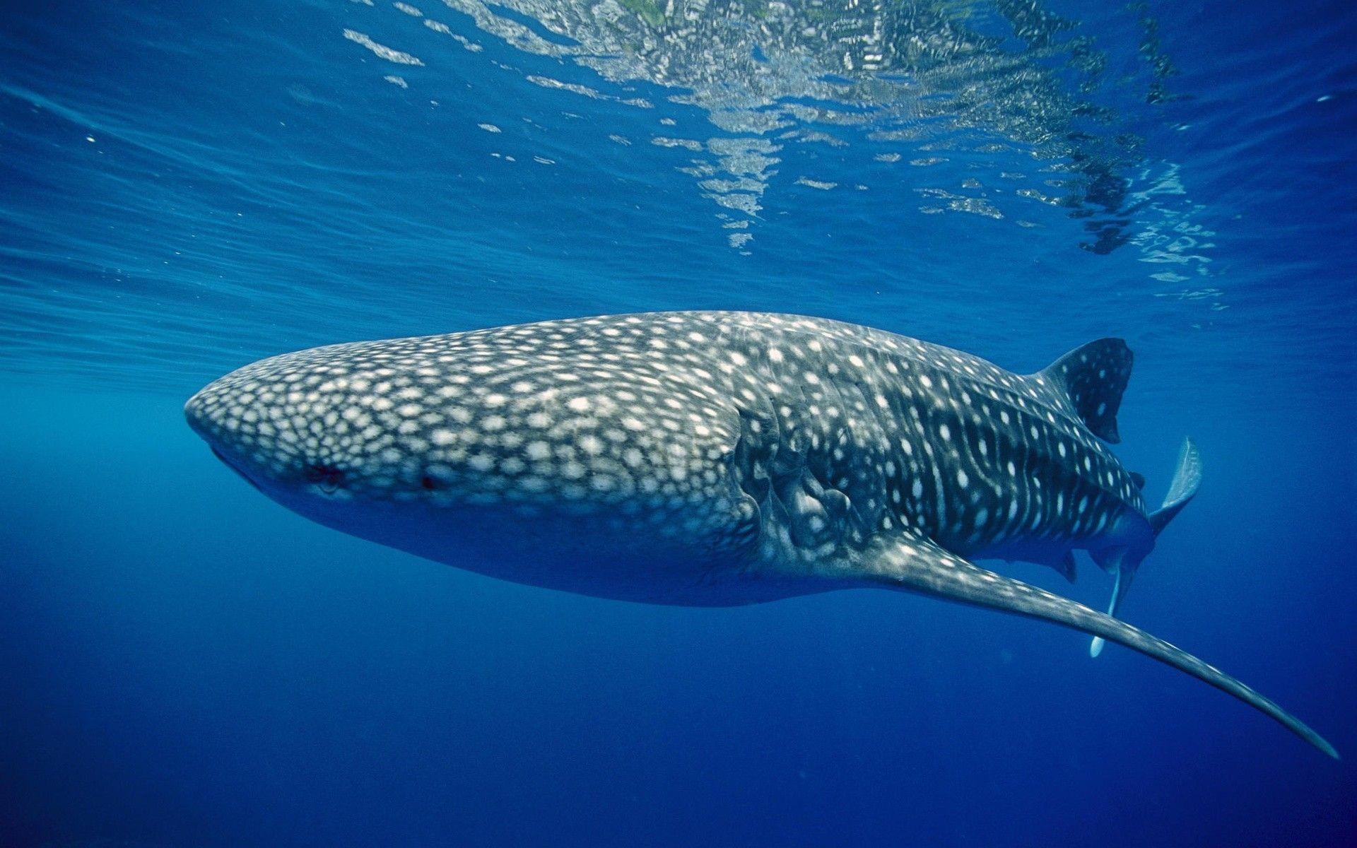 Blue Whale Shark Wallpaper