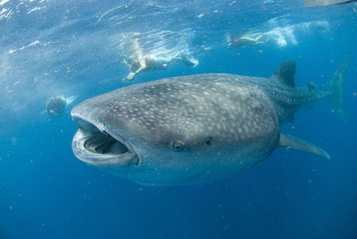 Whale Shark Ecuador wallpapers (53 Wallpapers) – HD Wallpapers