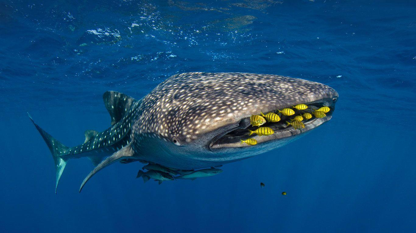 Golden trevally swim with a whale shark in Cenderawasih Bay ...