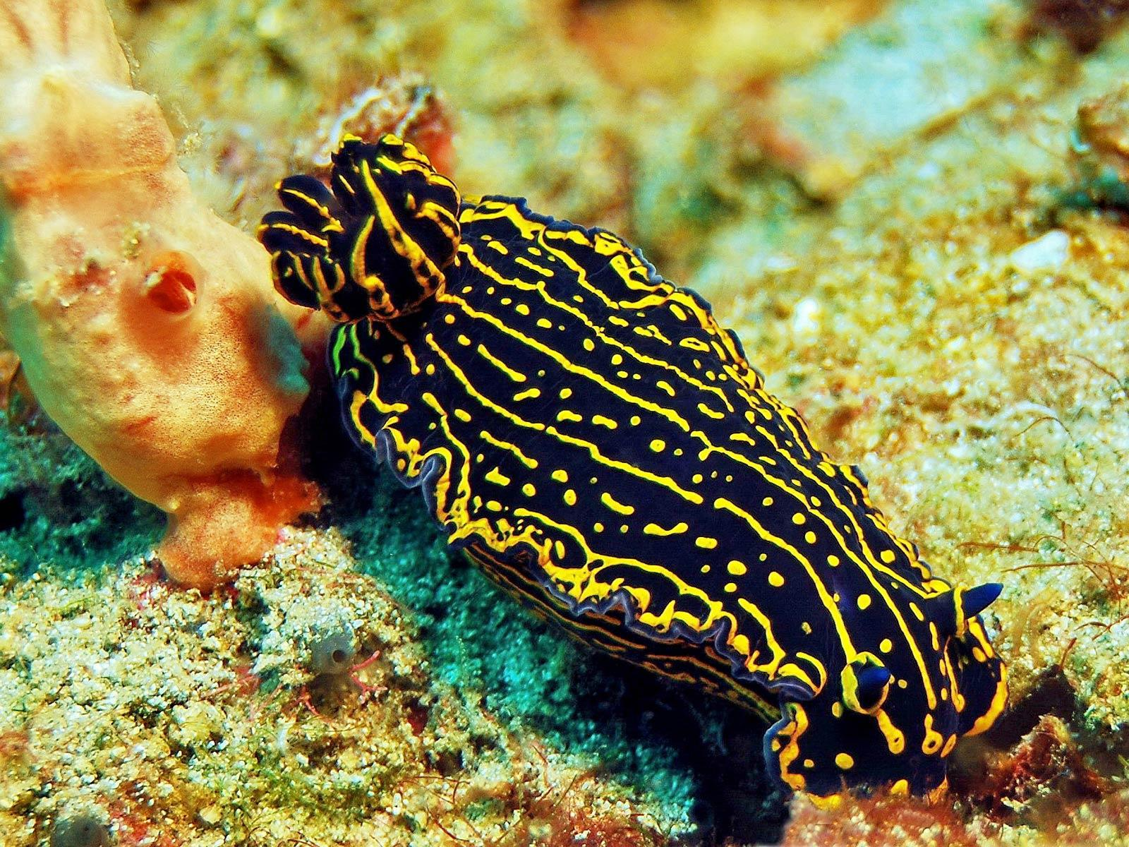 Sea Slug Wallpaper and Background - Animals Town