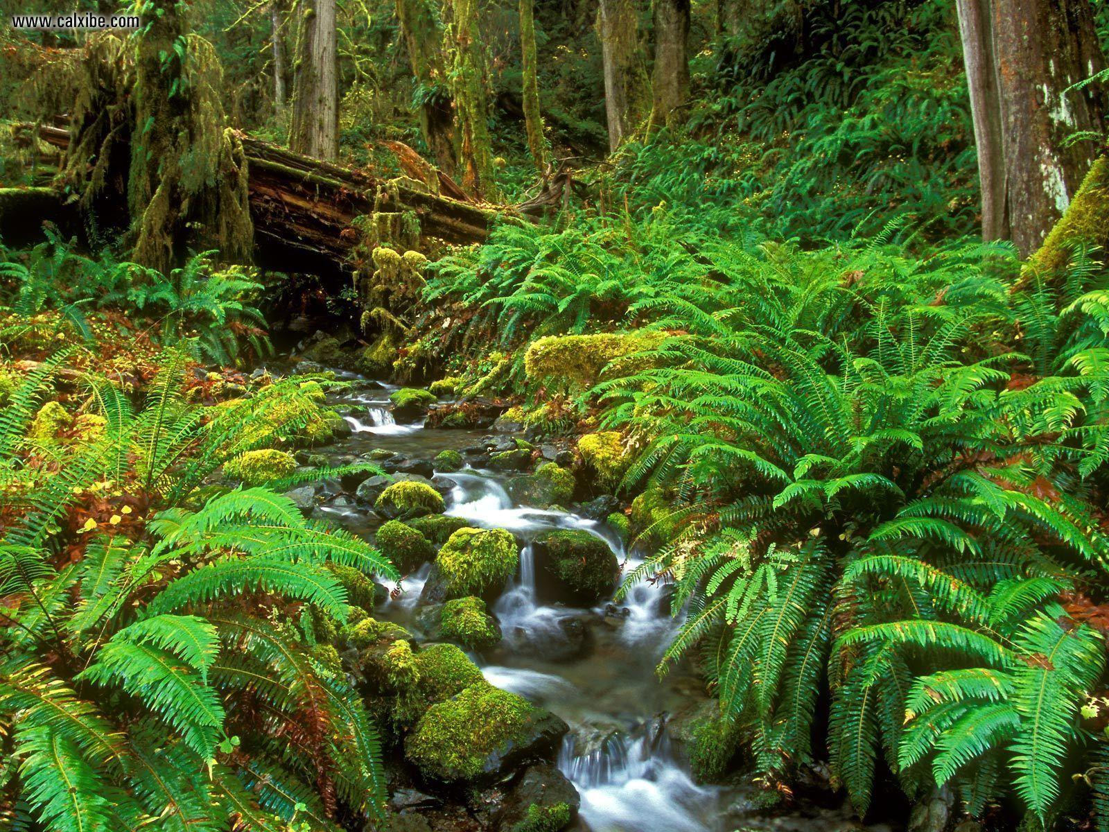 Nature: Rainforest Stream Olympic National Park Washington