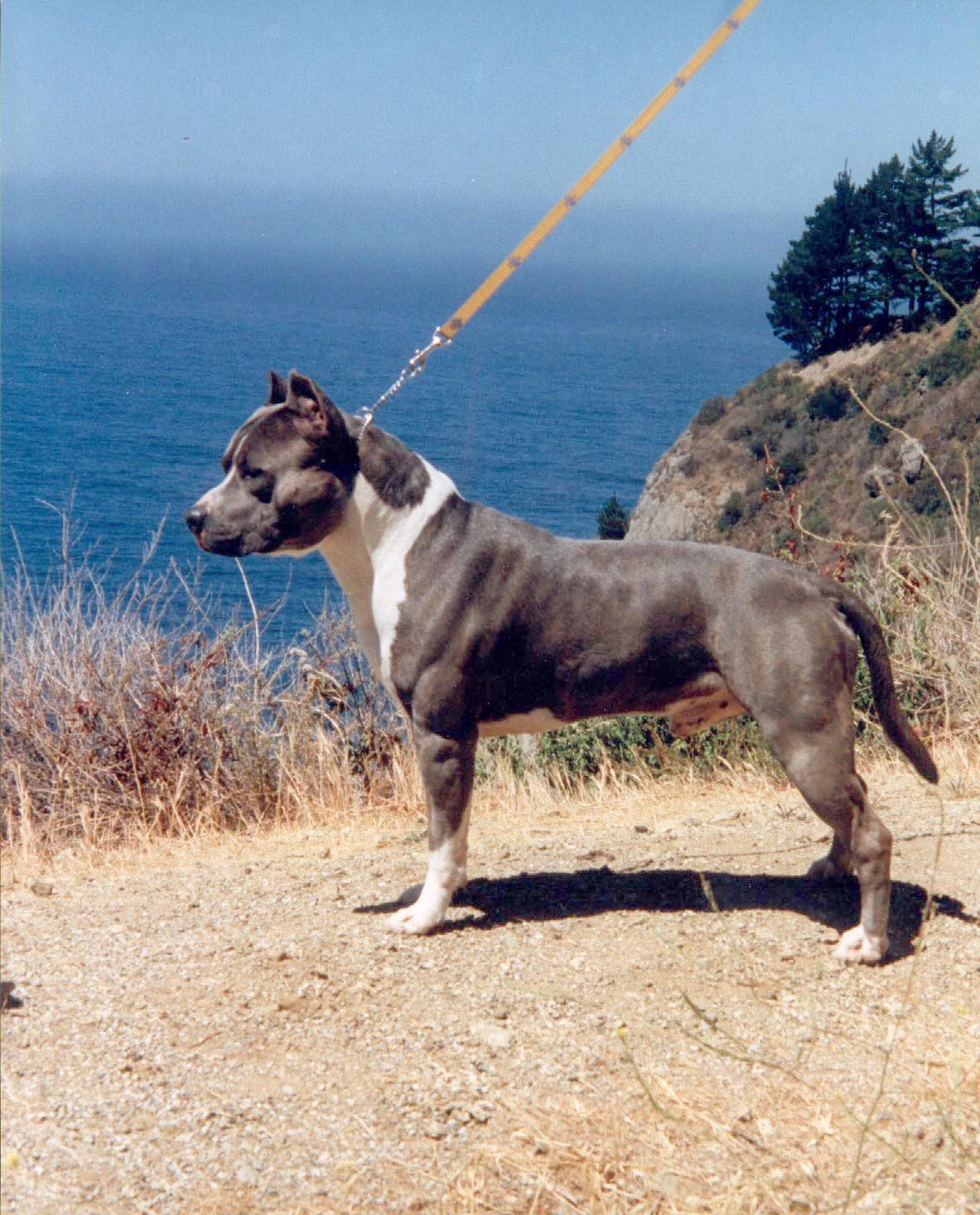 American Staffordshire Terrier Wallpapers Wallpaper Cave