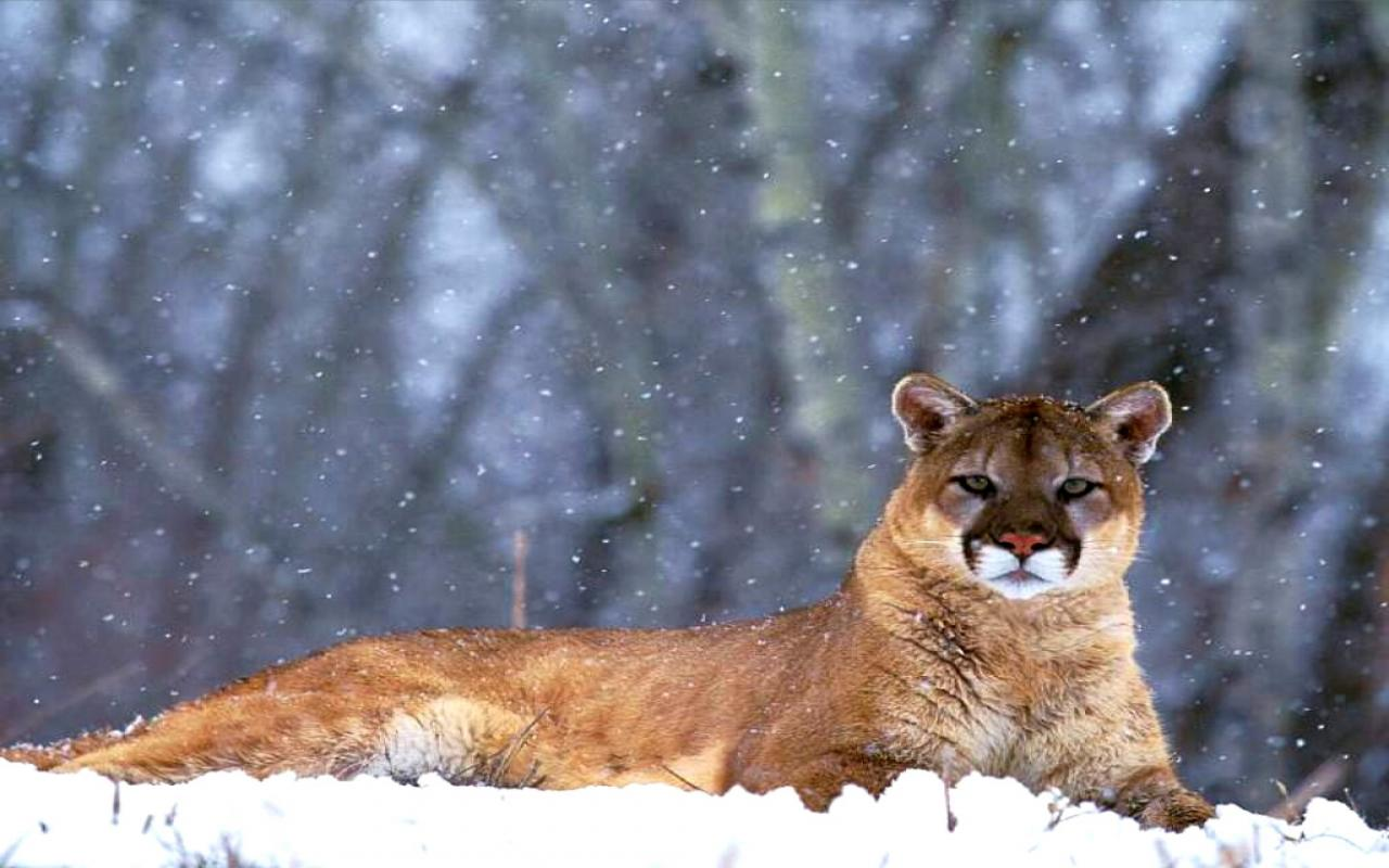 Mountain Lion Wallpapers Wallpaper Cave
