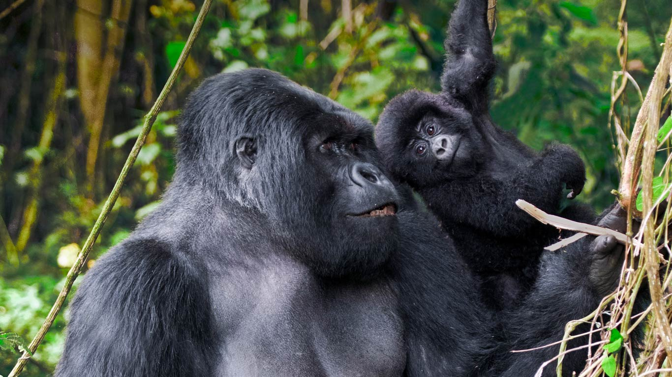 Beautiful male mountain gorilla and juvenile in volcanoes national