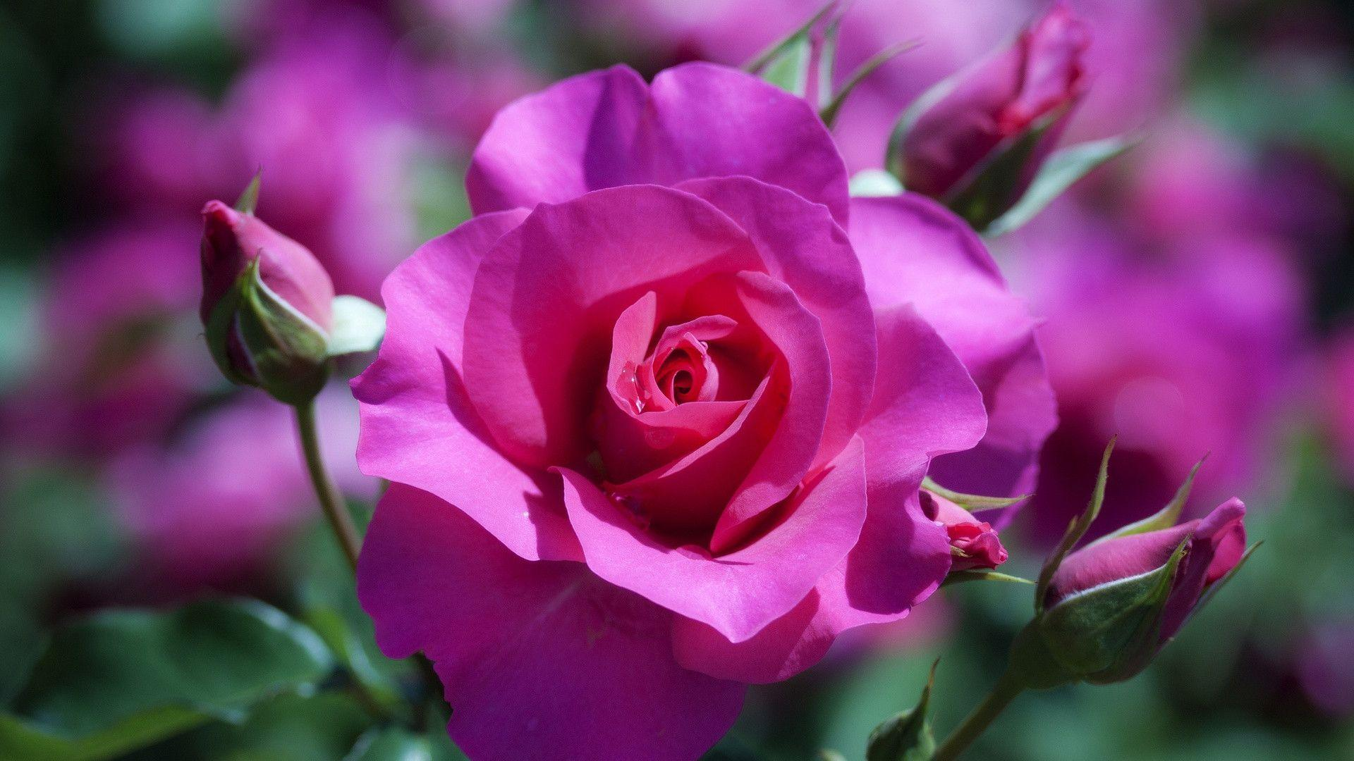 Natural Rose Flower Pic Hd Vinny Oleo Vegetal Info