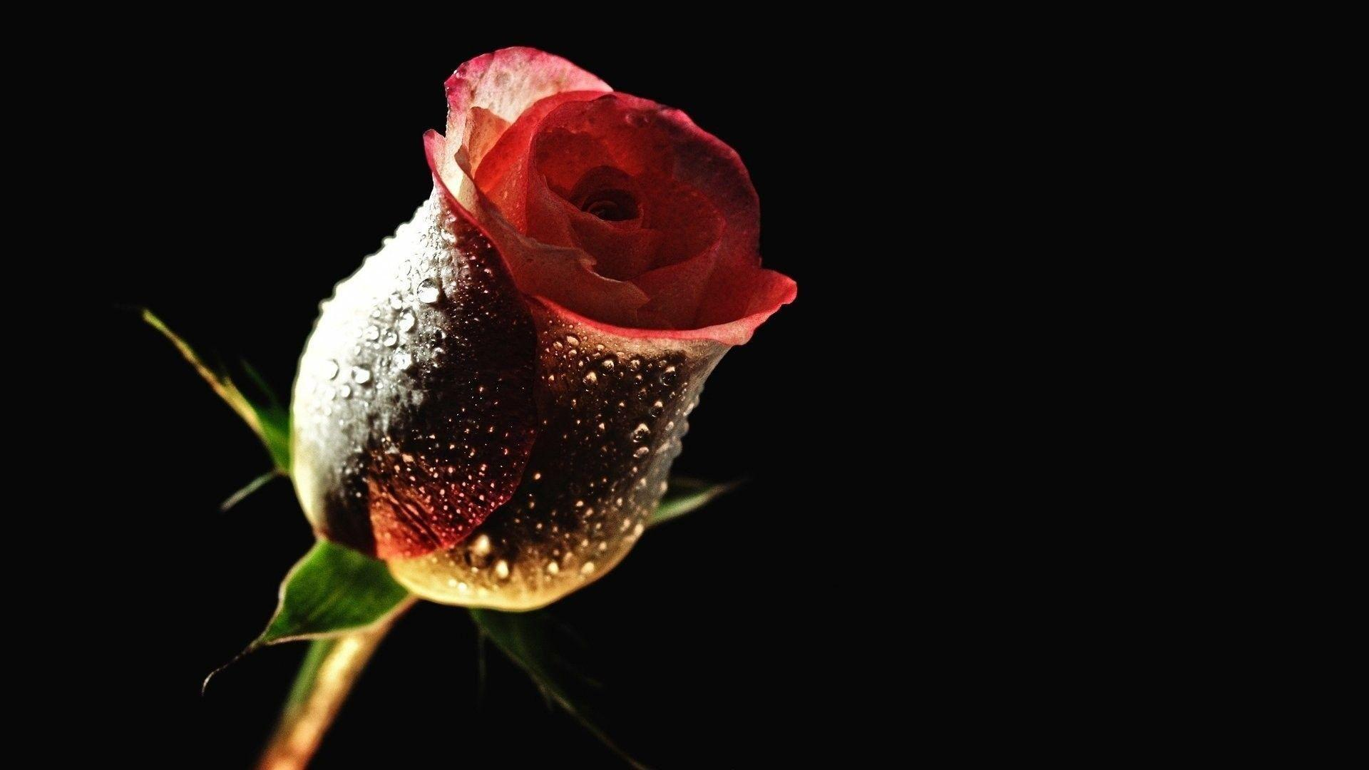 Rose Flowers Hd Wallpapers Wallpaper Cave