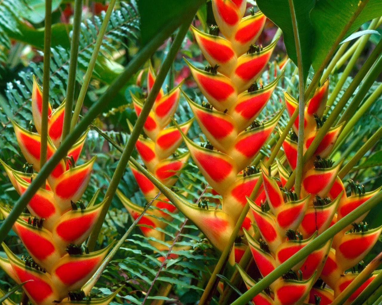 Flowers: Heliconias St Lucia Full Green Orange Fern Flower HD
