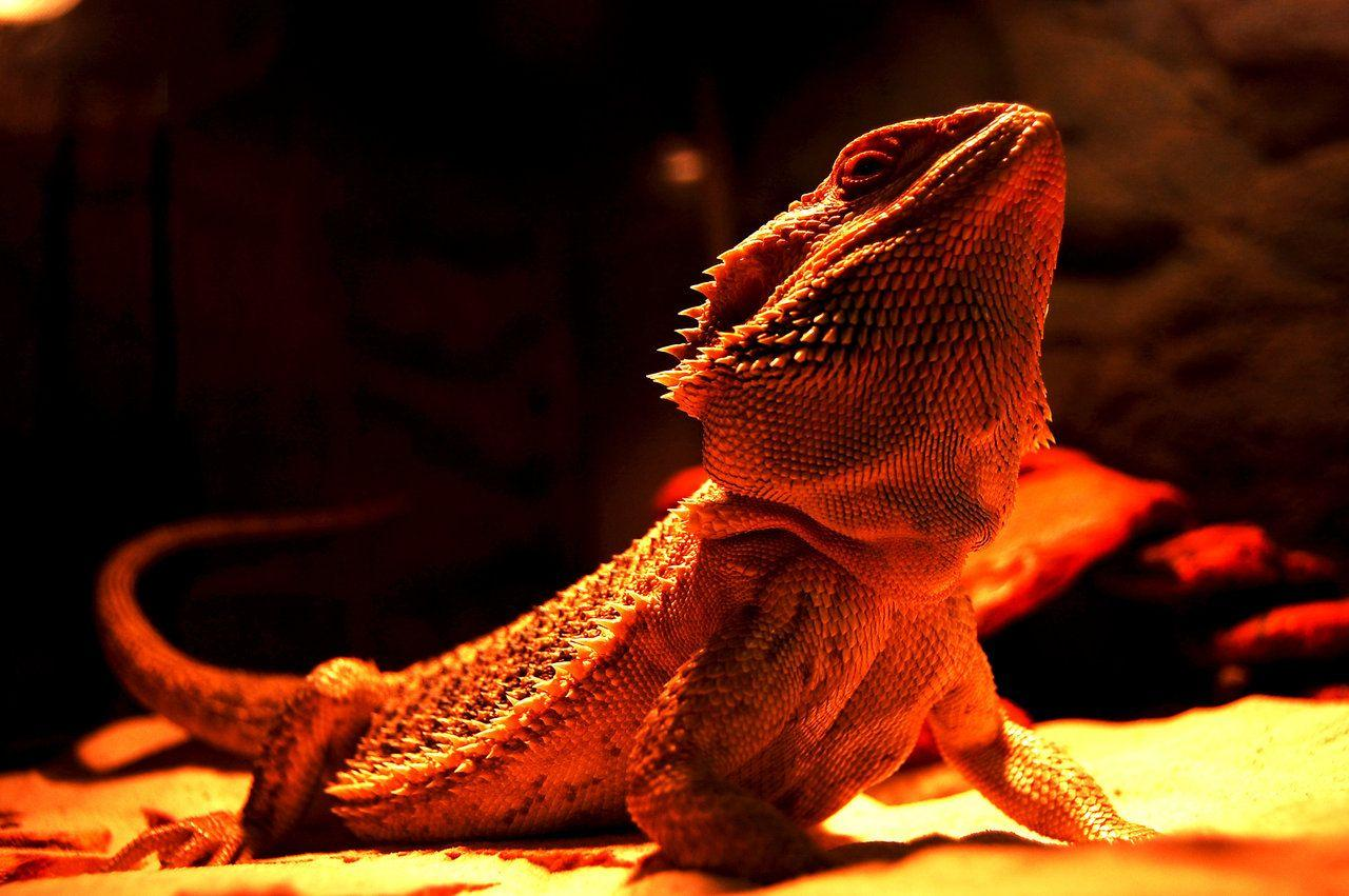 Cute dragon wallpapers wallpaper cave bearded dragon wallpaper free bearded dragon wallpapers bearded voltagebd Choice Image