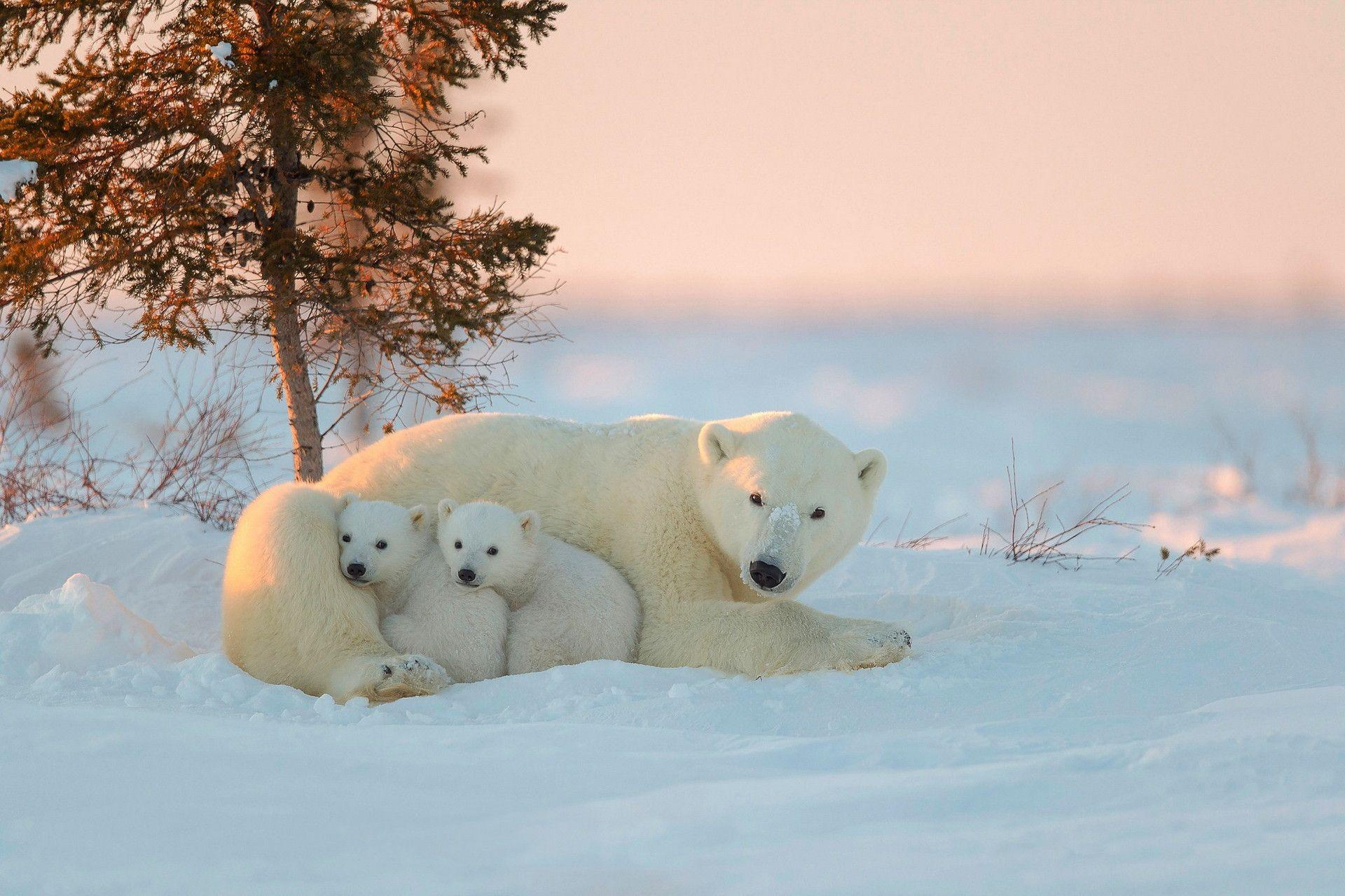 Polar Bears HD Wallpapers