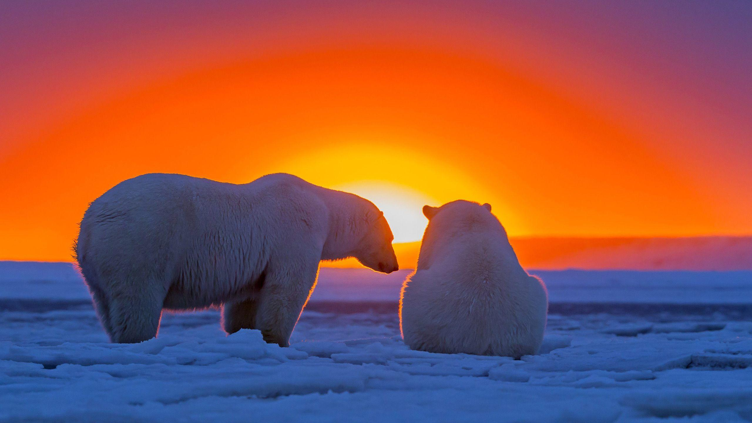 polar bears hd wallpapers wallpaper cave