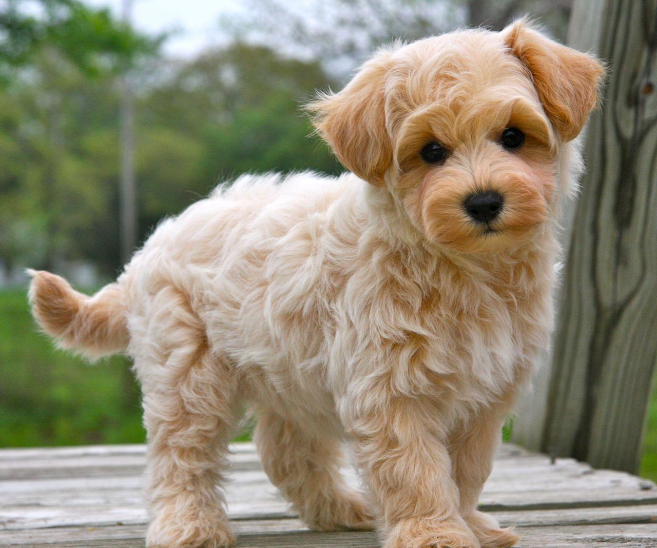 maltipoo puppies - Google Search | Want one ❤ | Pinterest ...