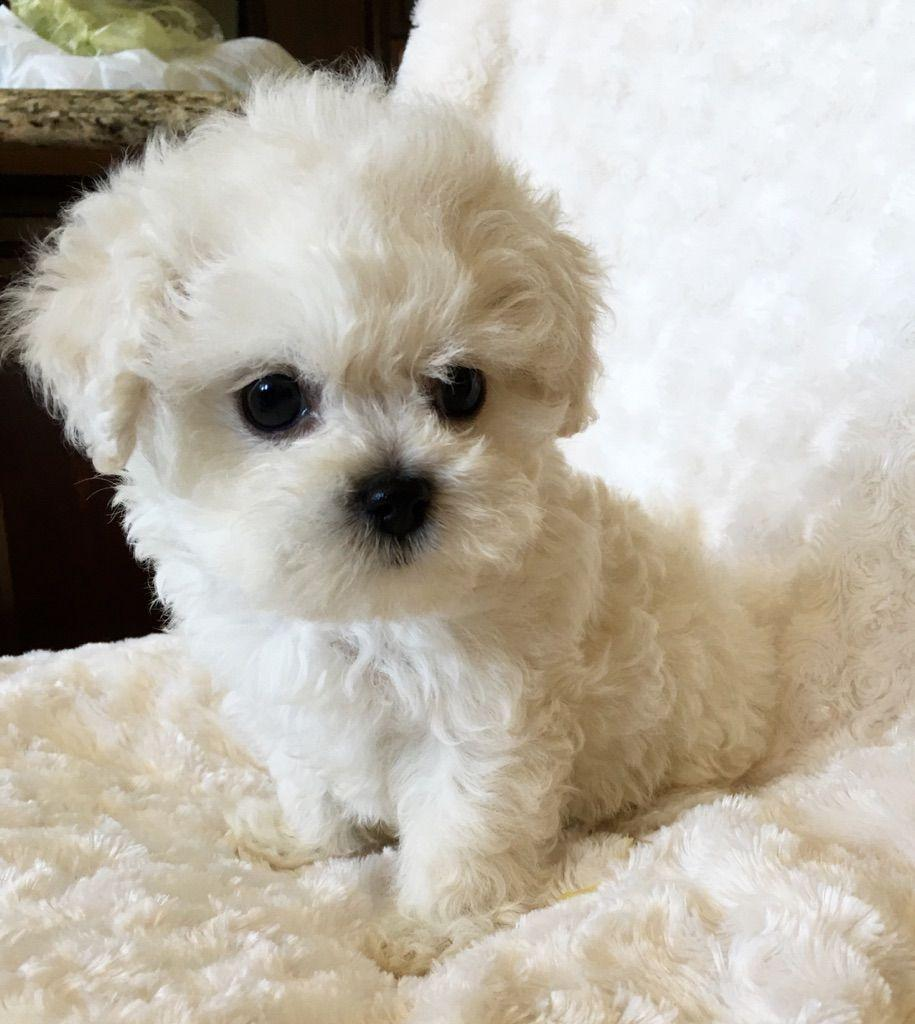 Maltipoo Puppyxx Cute And Fluffy Widescreen On Puppies Pictures ...
